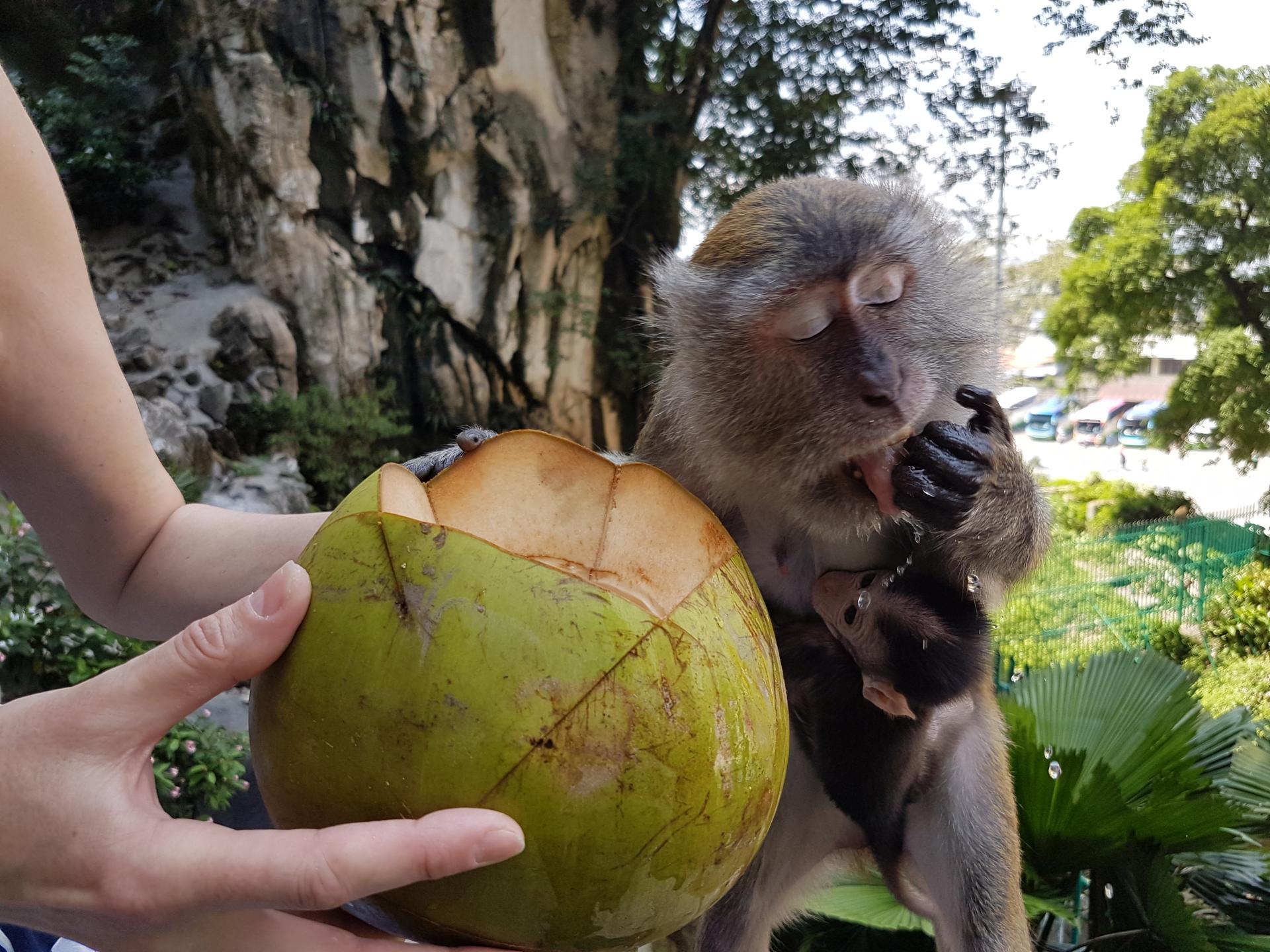 Макака пьет кокос