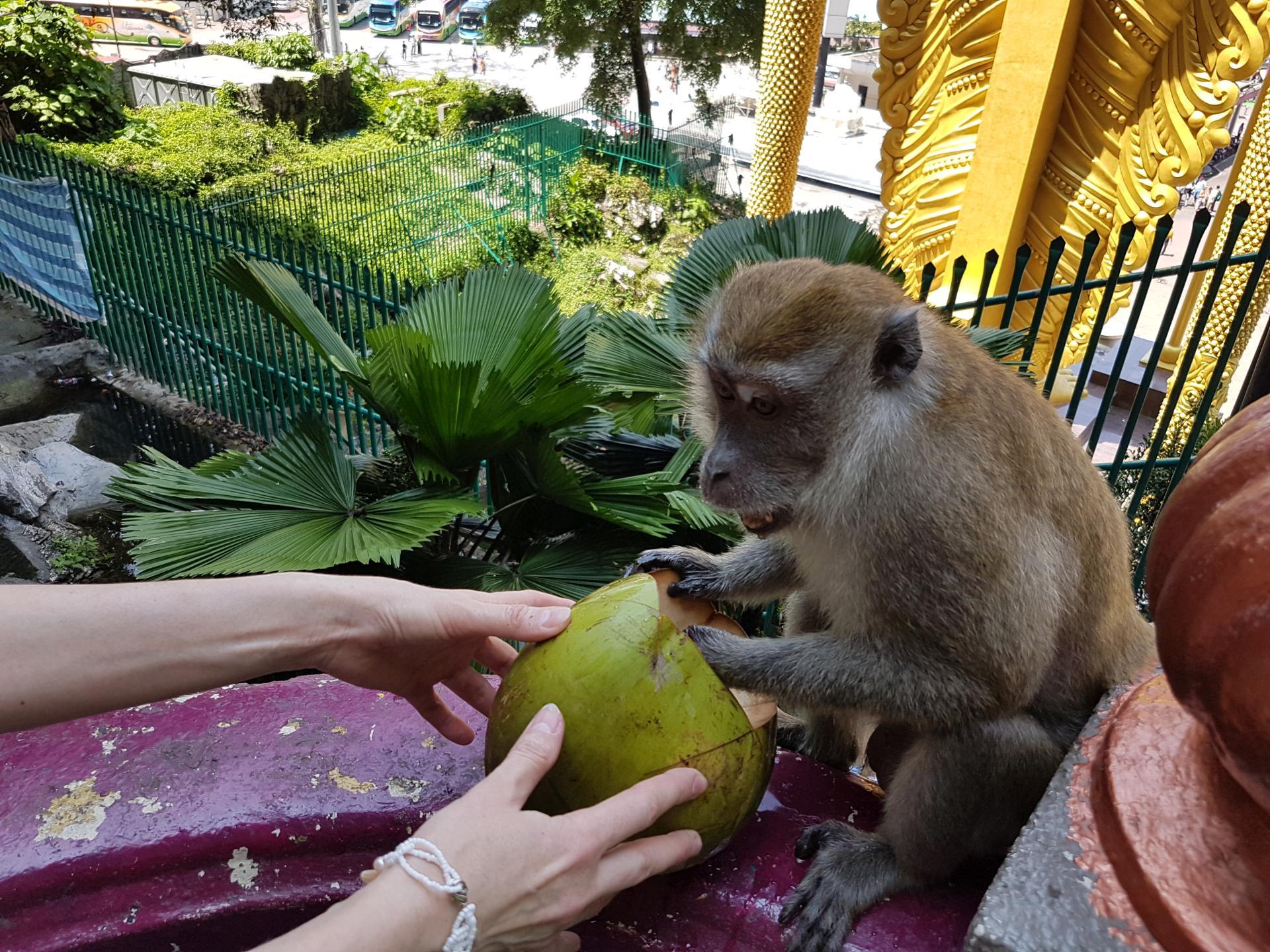 Макака отбирает кокос