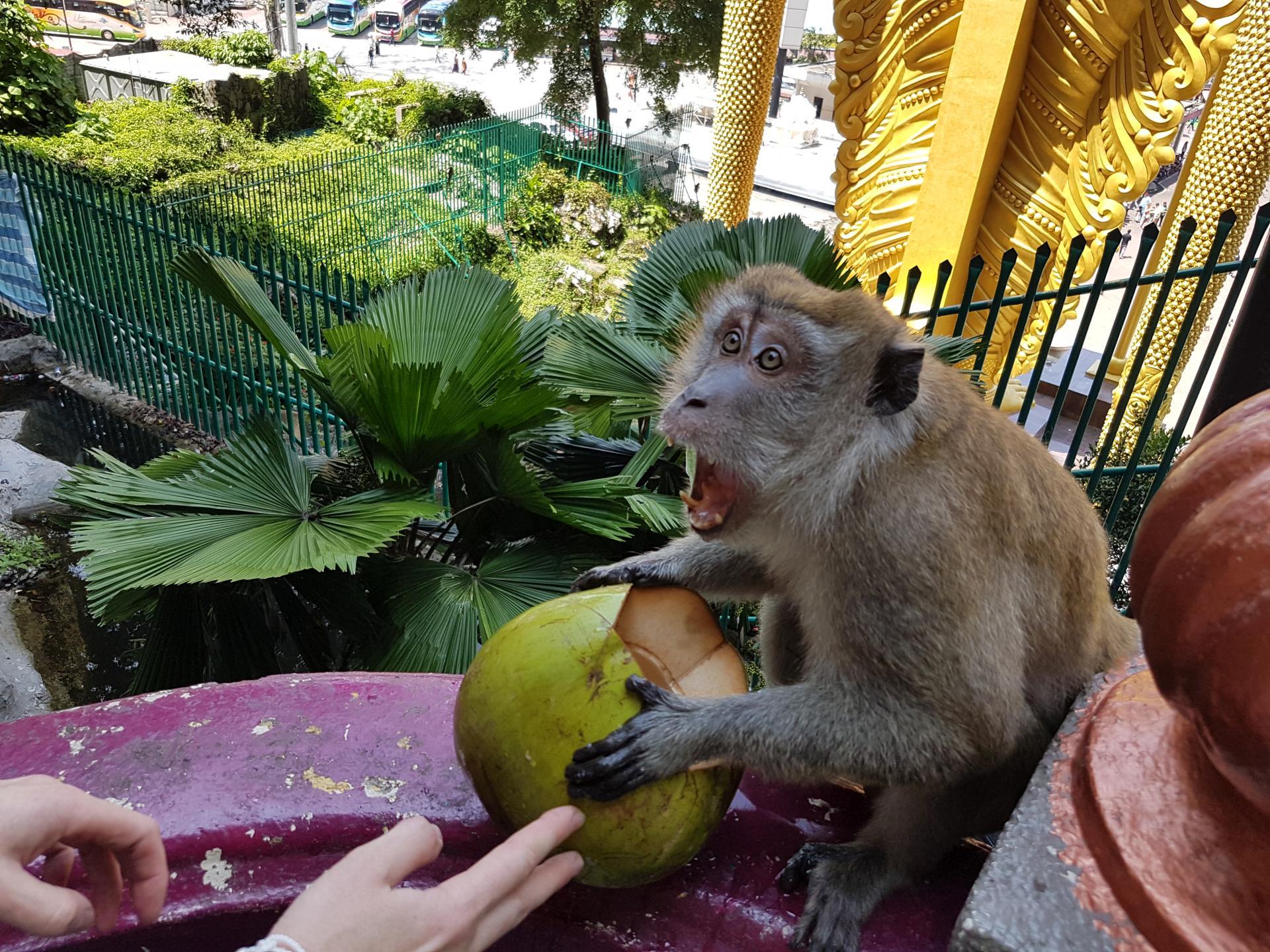 Макака не отдает кокос