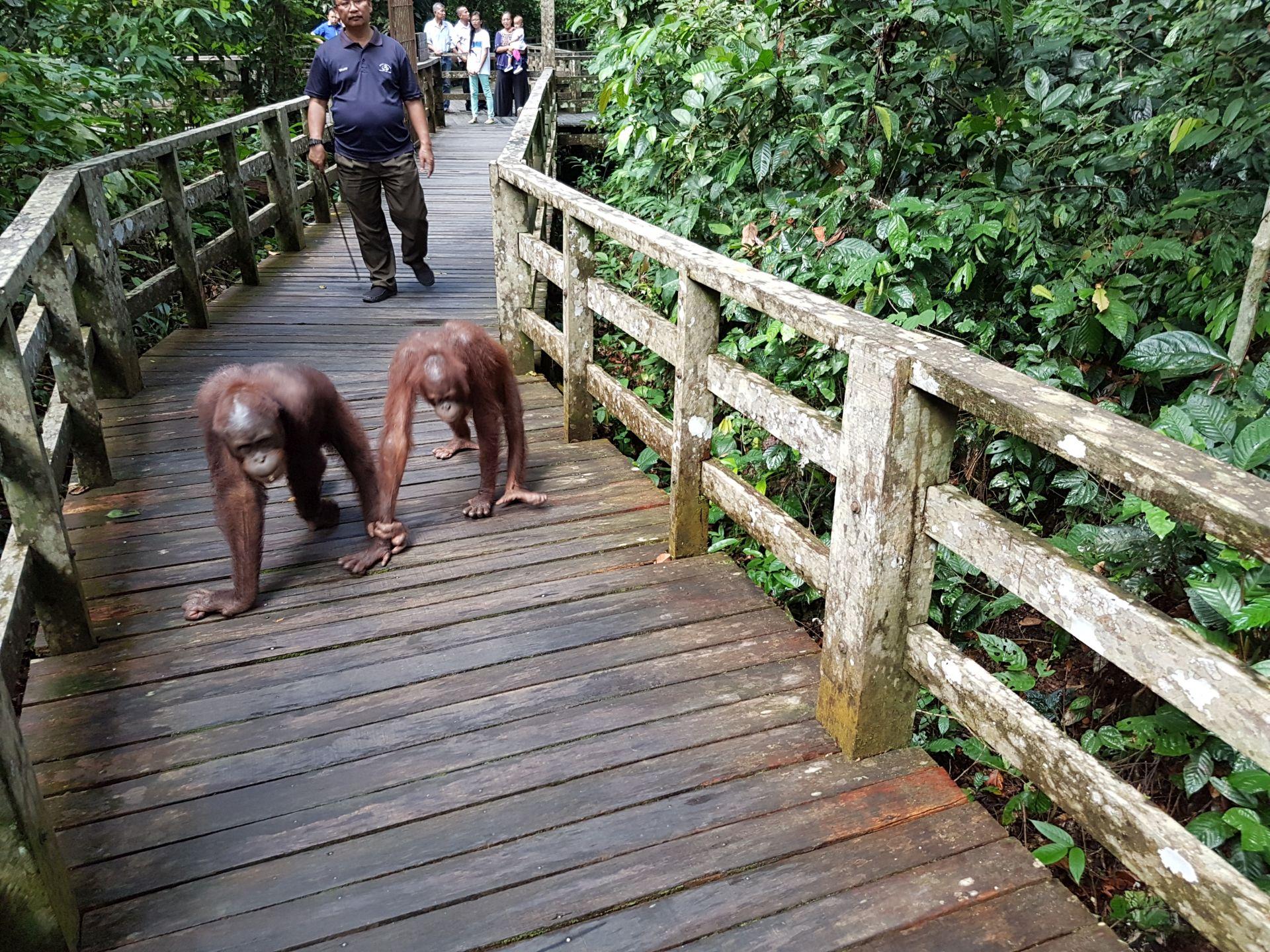 Центр реабилитации орангутангов