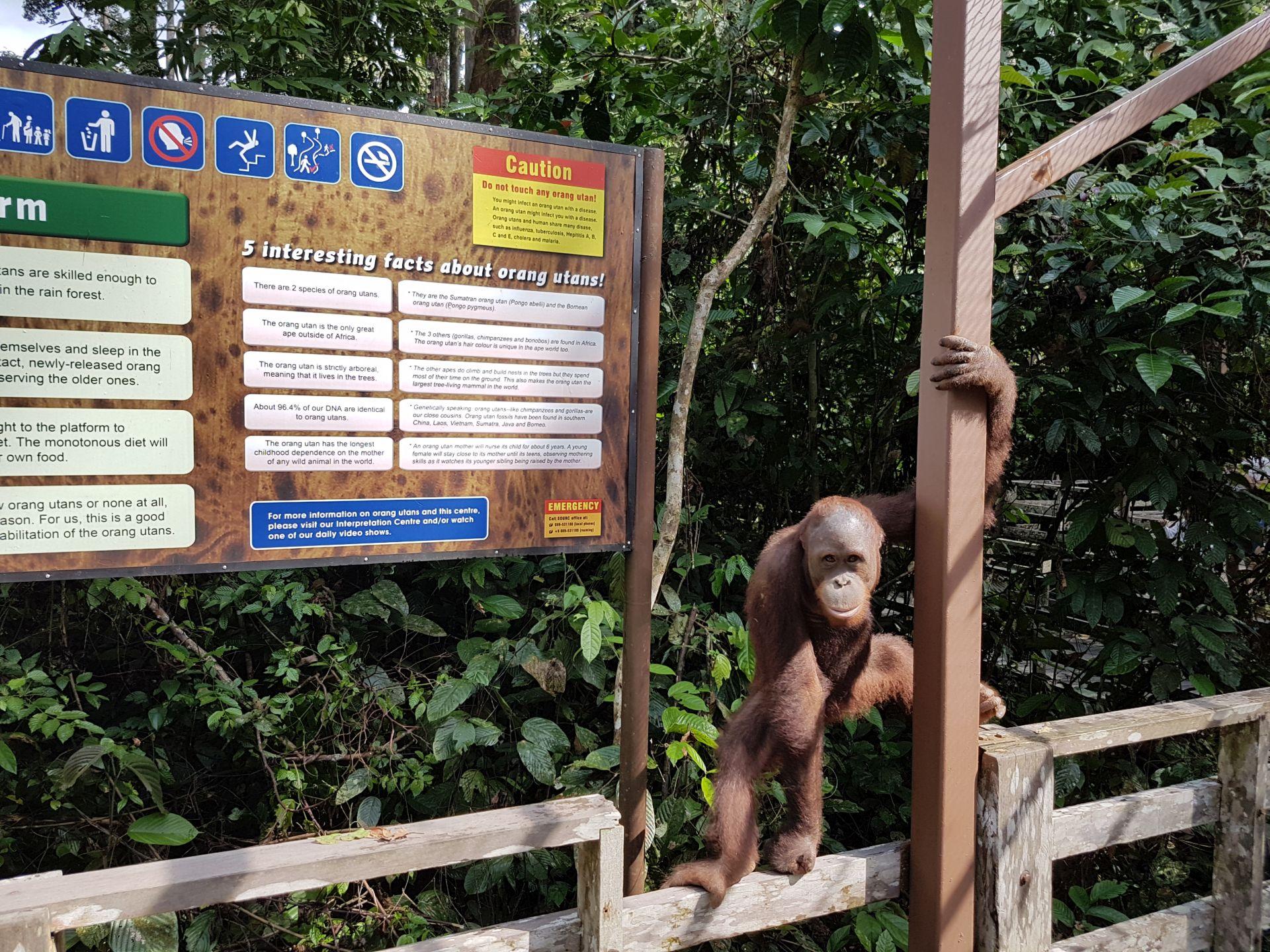 Орангутанг Сепилок