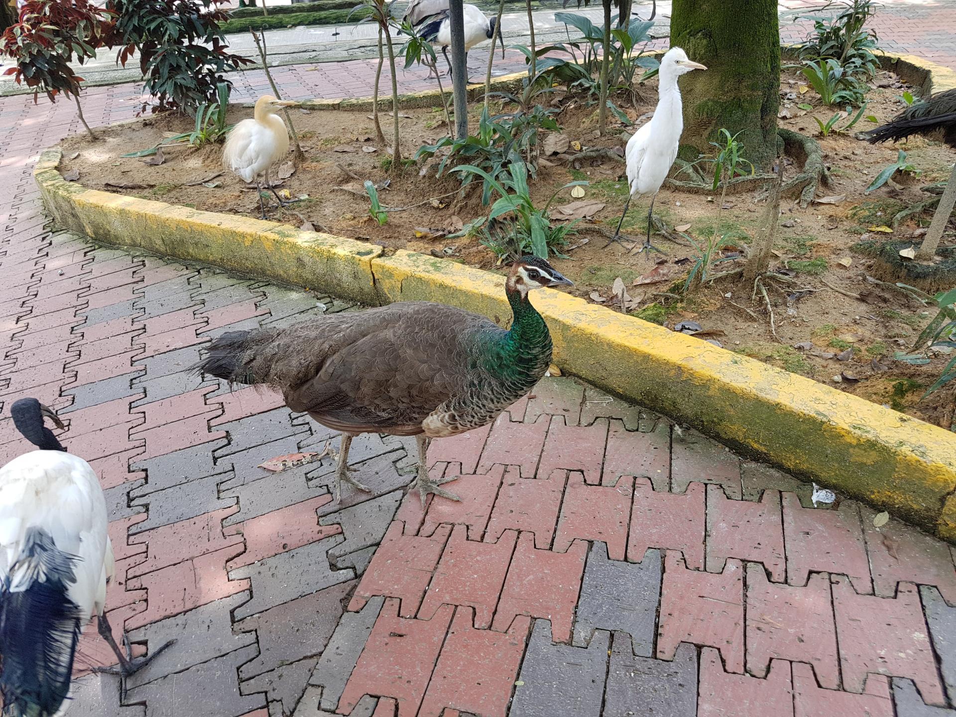 Самец павлина