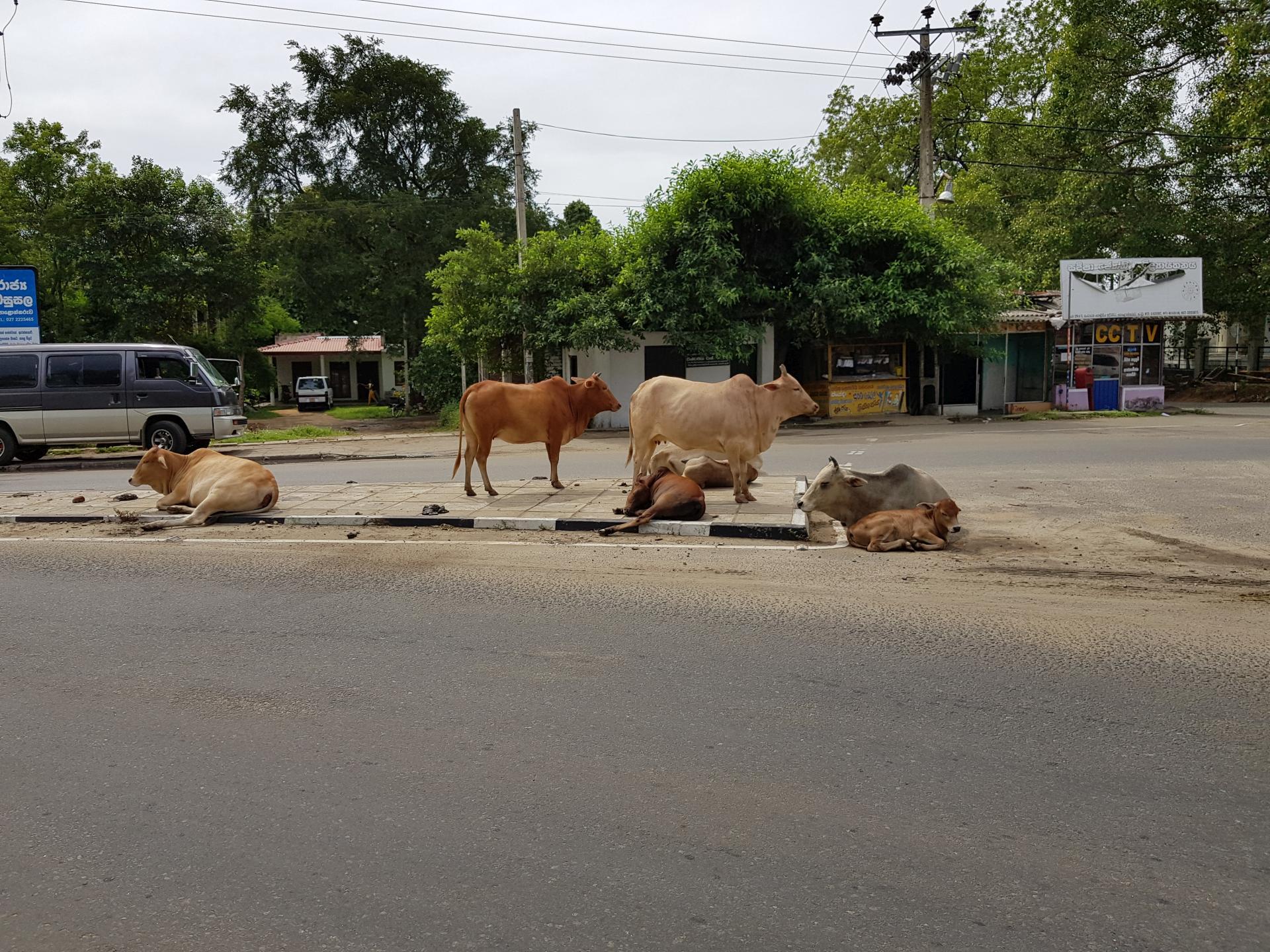 Коровы на дорогах Шри-Ланки