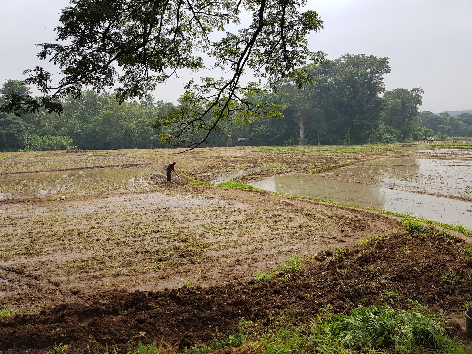 Рисовые поля, Шри-Ланка.