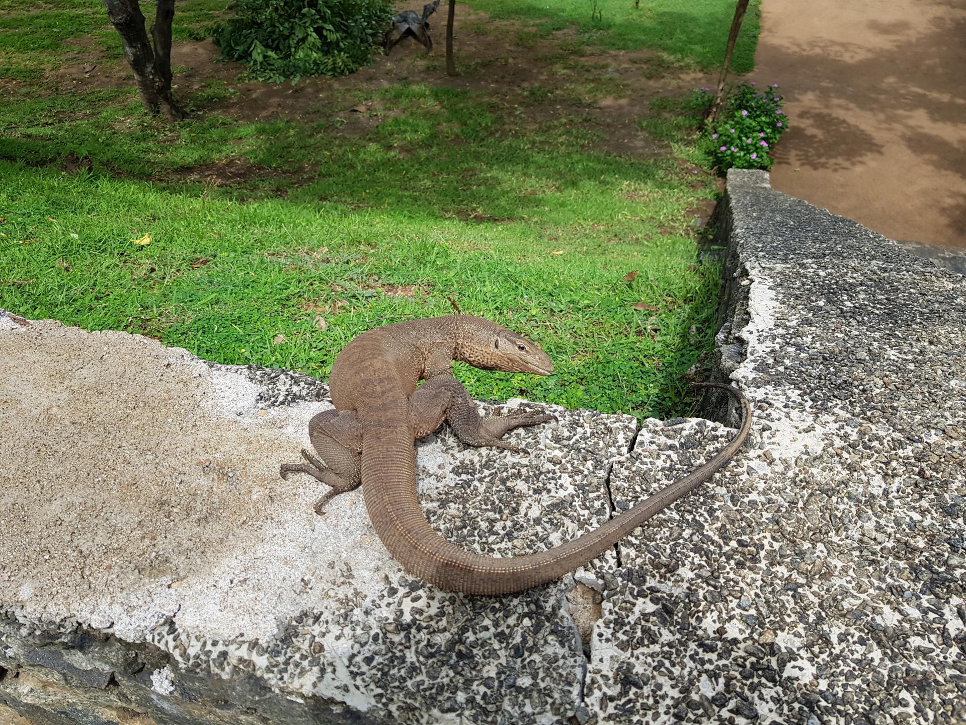 Варан греется на солнышке, Шри-Ланка