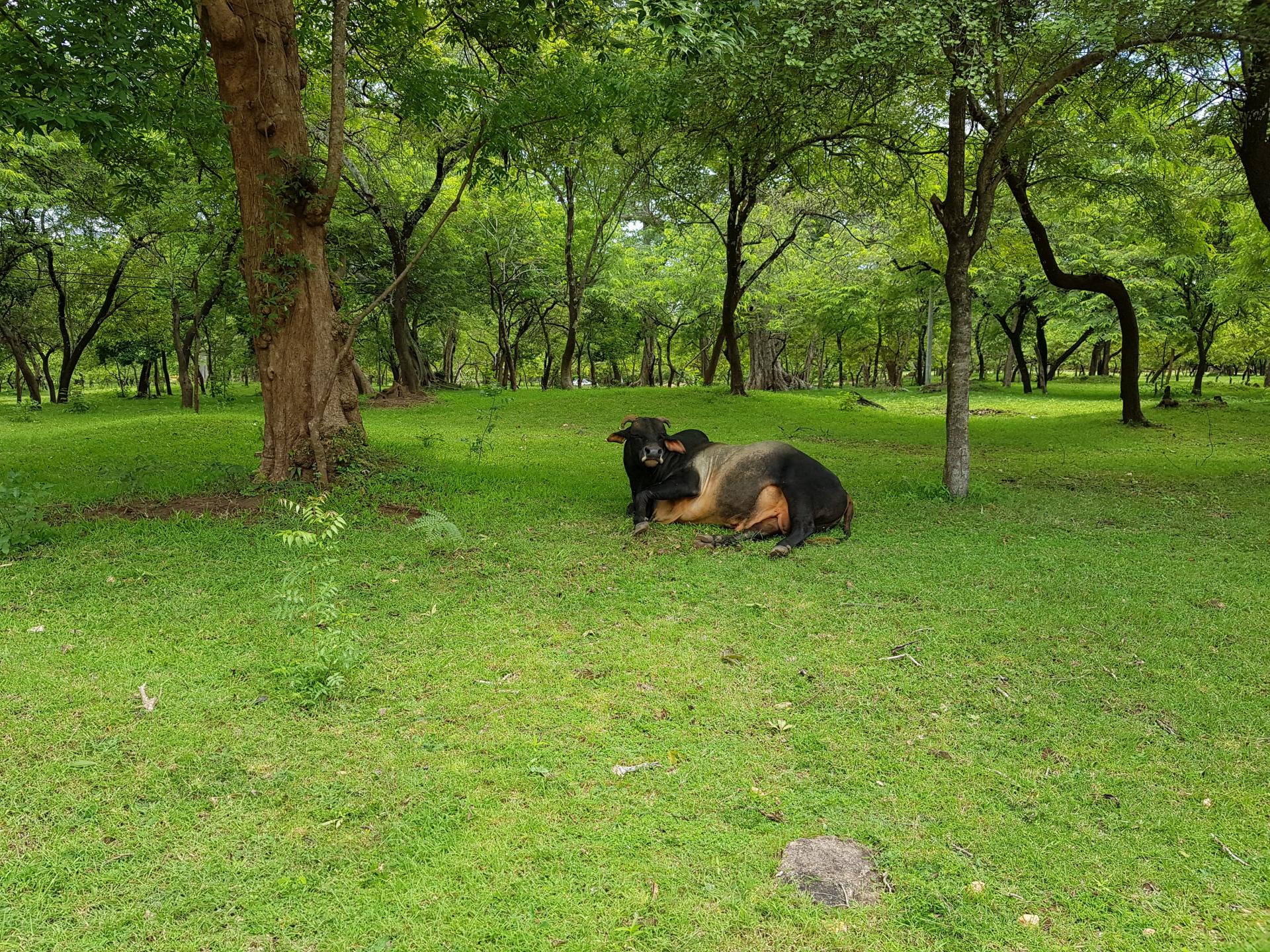 Корова на Шри-Ланке