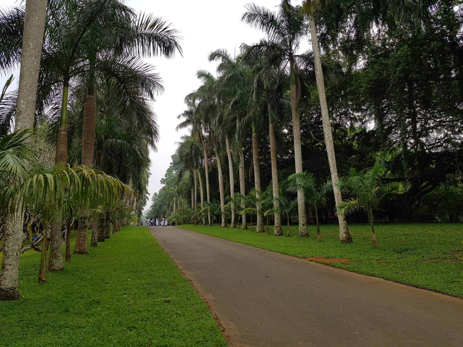 Пальмовая аллея, Ботанический сад Канди, Шри-Ланка.