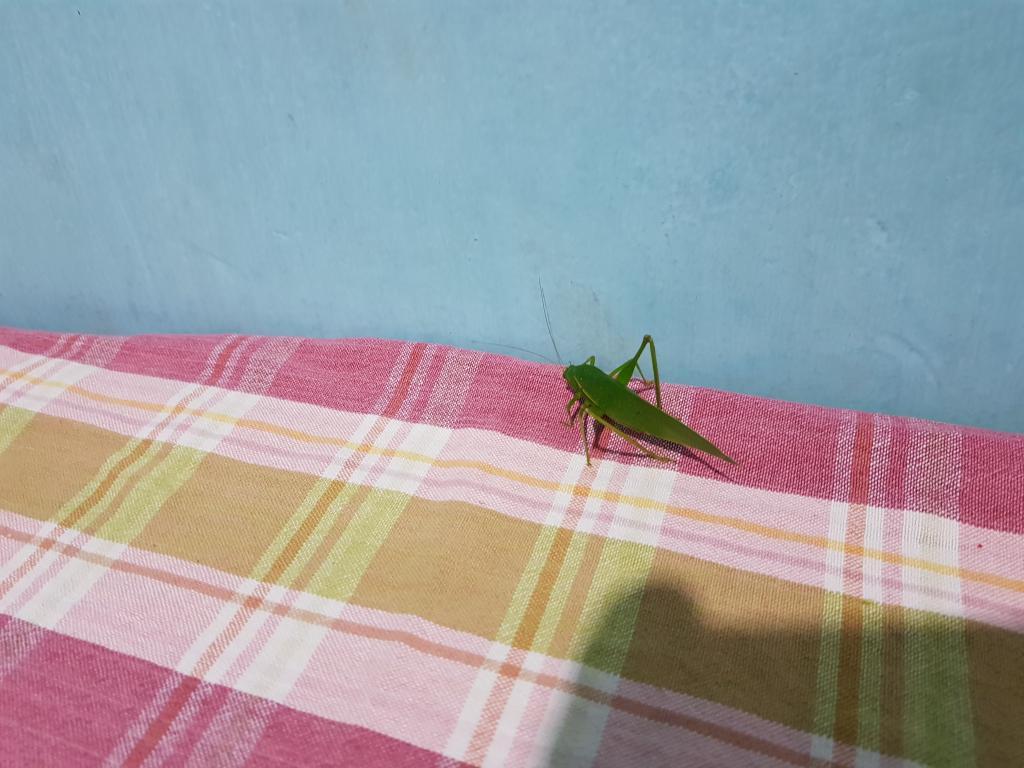 Зеленый кузнечик, Шри-Ланка.