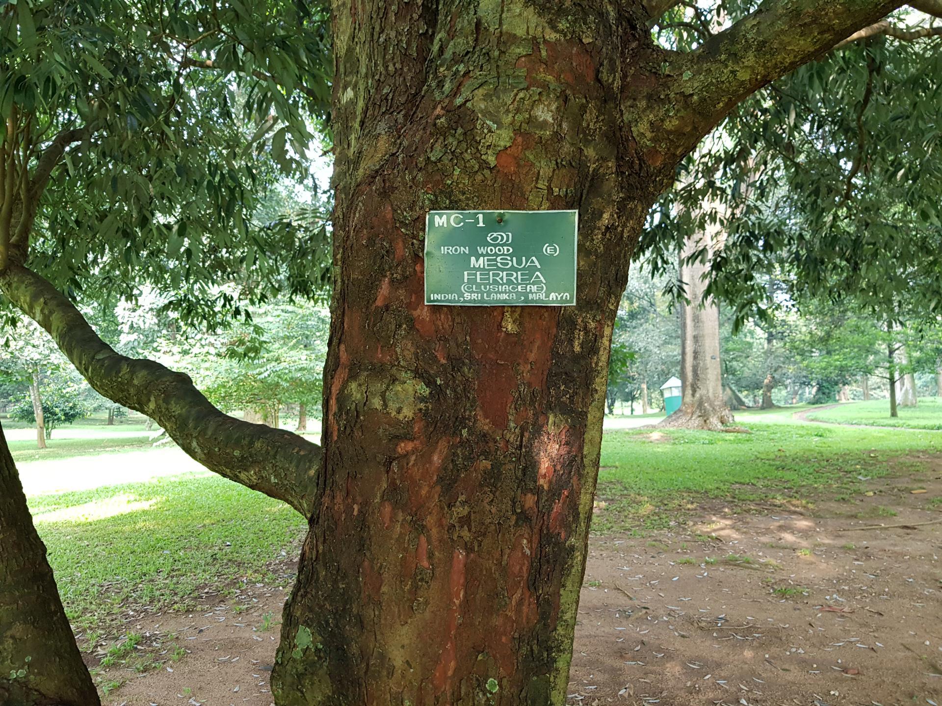 Железное дерево мезуя в Ботаническом саду Канди, Шри-Ланка.