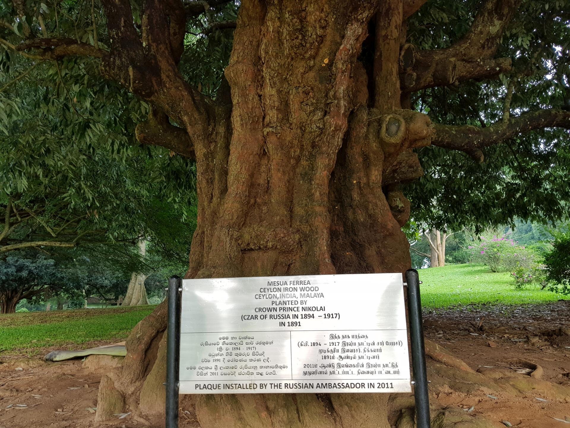 Дерево Николая II в Ботаническом саду Канди, Шри-Ланка.