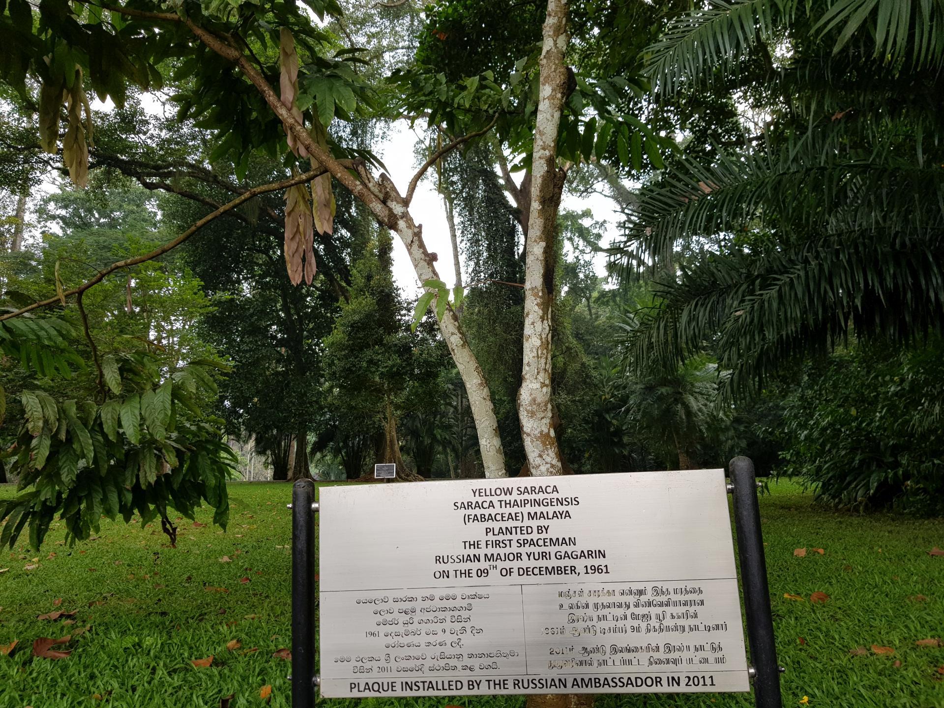 Желтая сарака Юрия Гагарина в Ботаническом саду Канди, Шри-Ланка.
