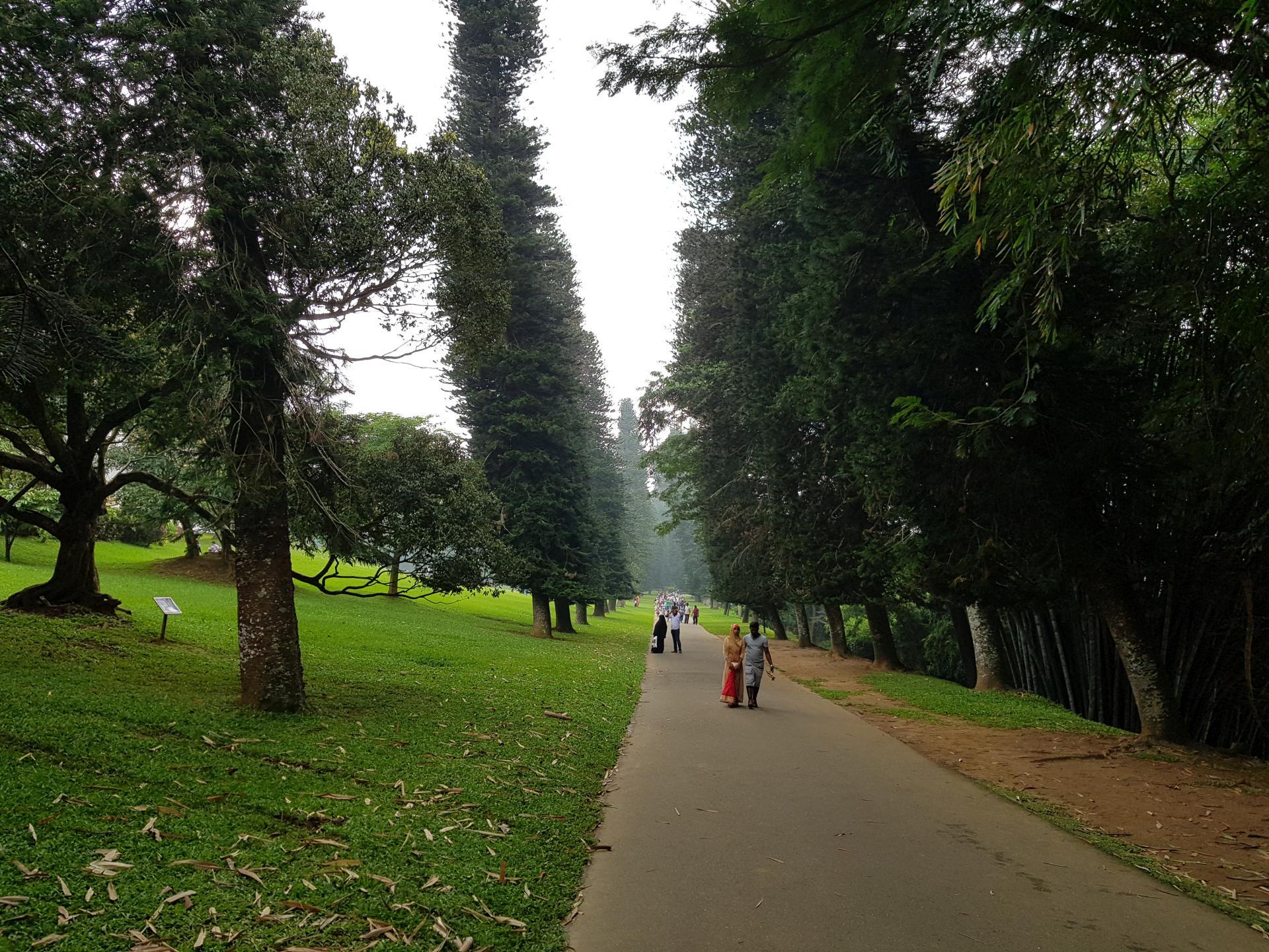 Араукарии коронавидные в Ботаническом саду Канди, Шри-Ланка.