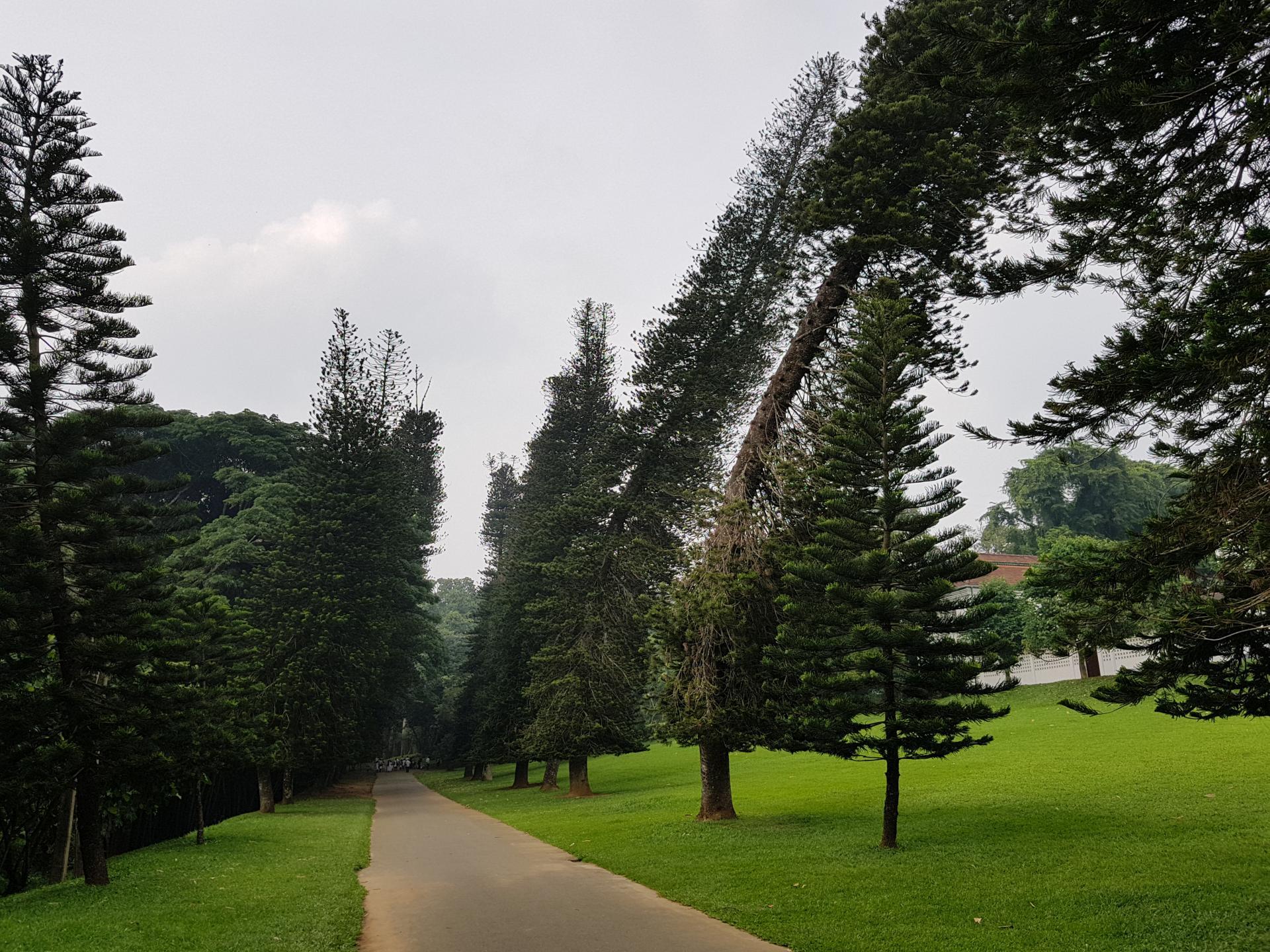 Пьяные ели, Ботанический сад Канди, Шри-Ланка.