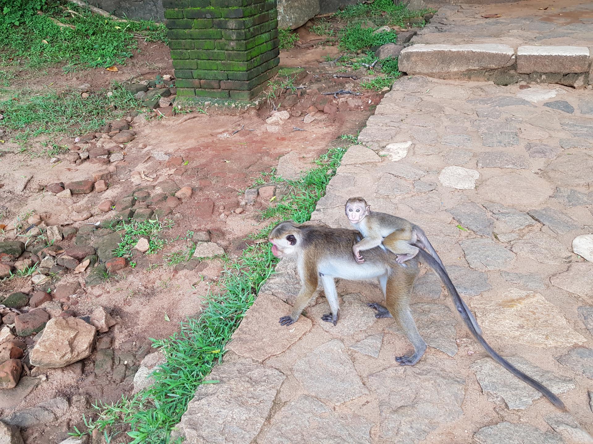 Обезьяна с детенышем, Шри-Ланка