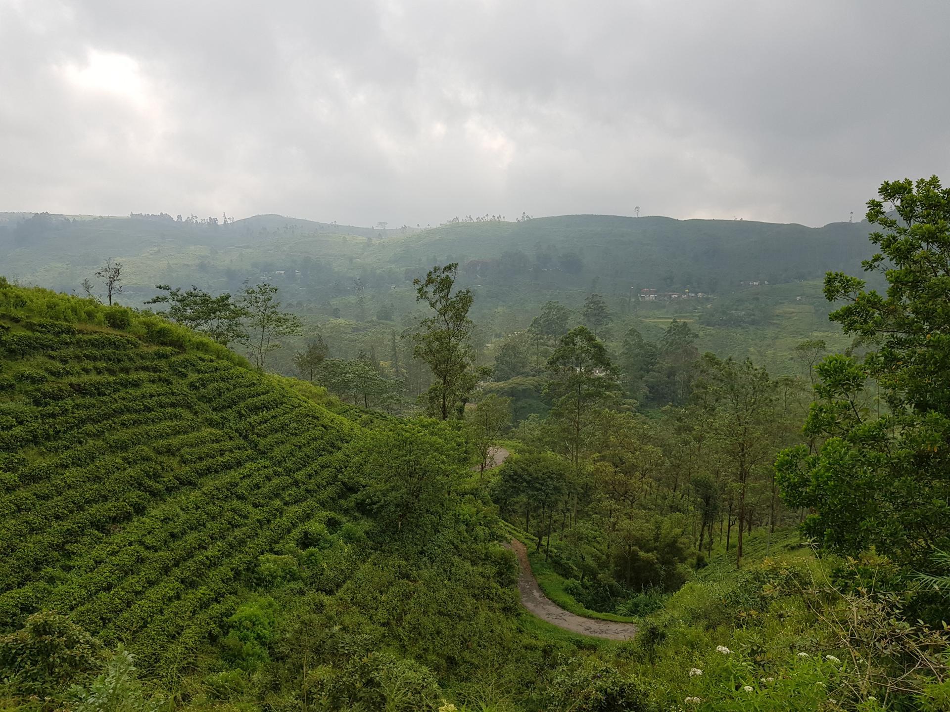 Чайные плантации на склонах холмов, Шри-Ланка