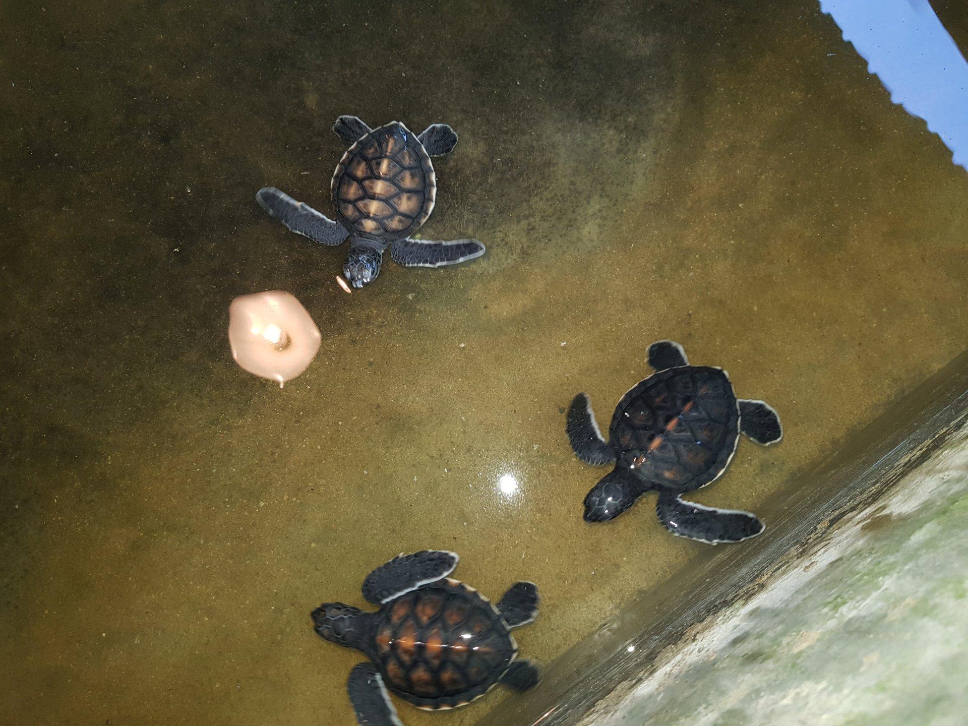 ферма черепах, Хиккадува, Шри-Ланка