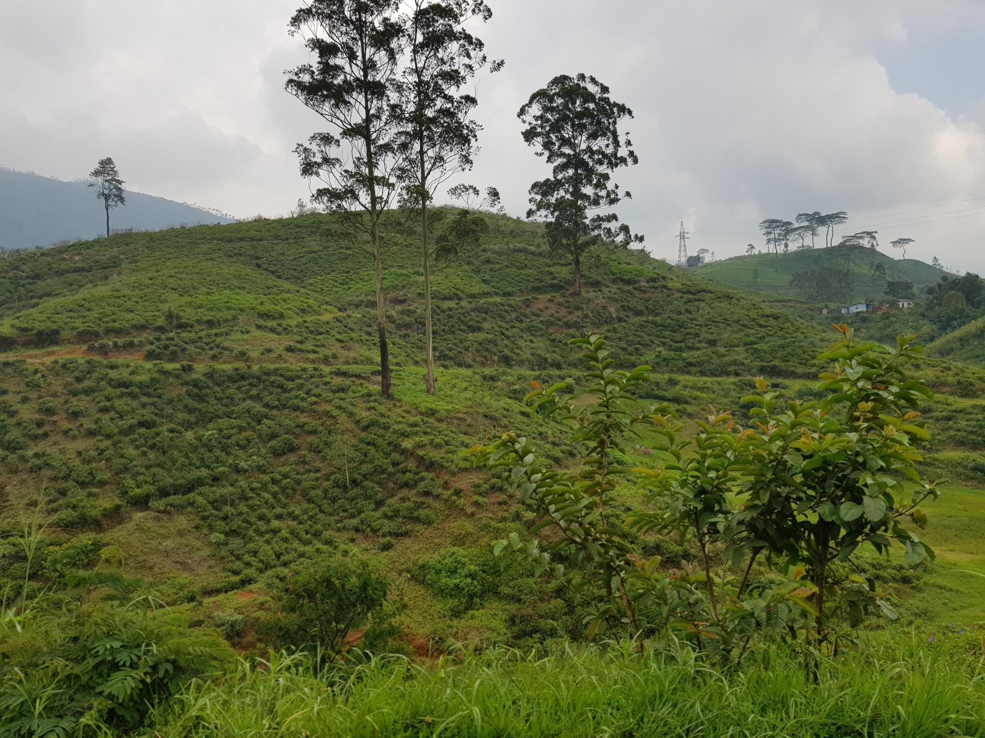 чайные плантации, Хаттон, Шри-Ланка