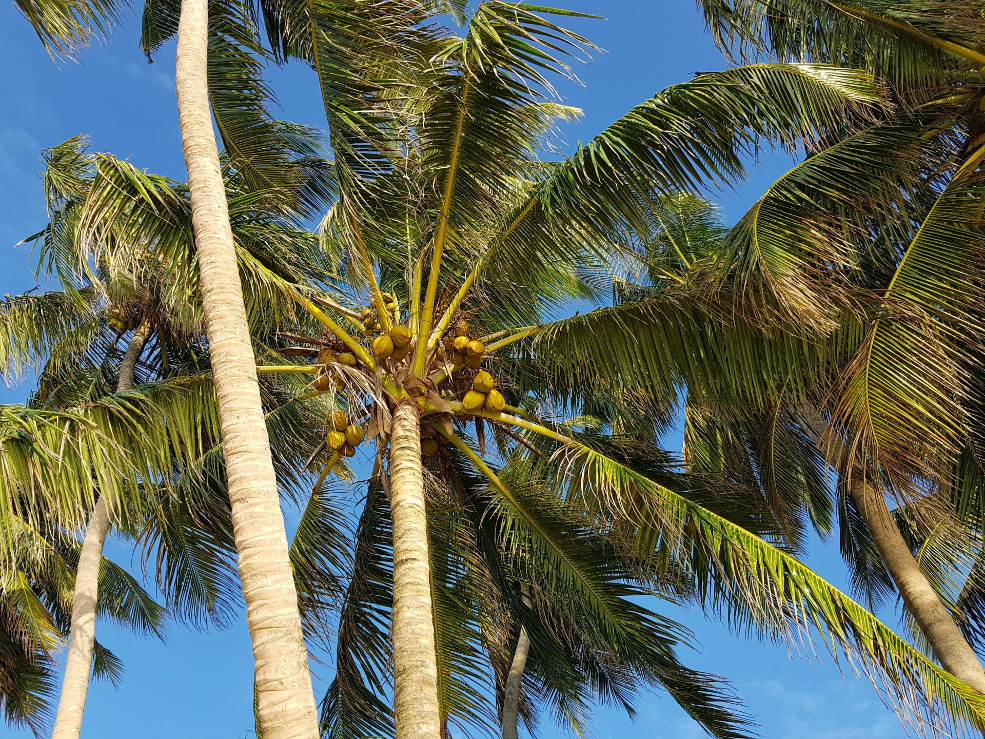 Кокосовая пальма, Шри-Ланка