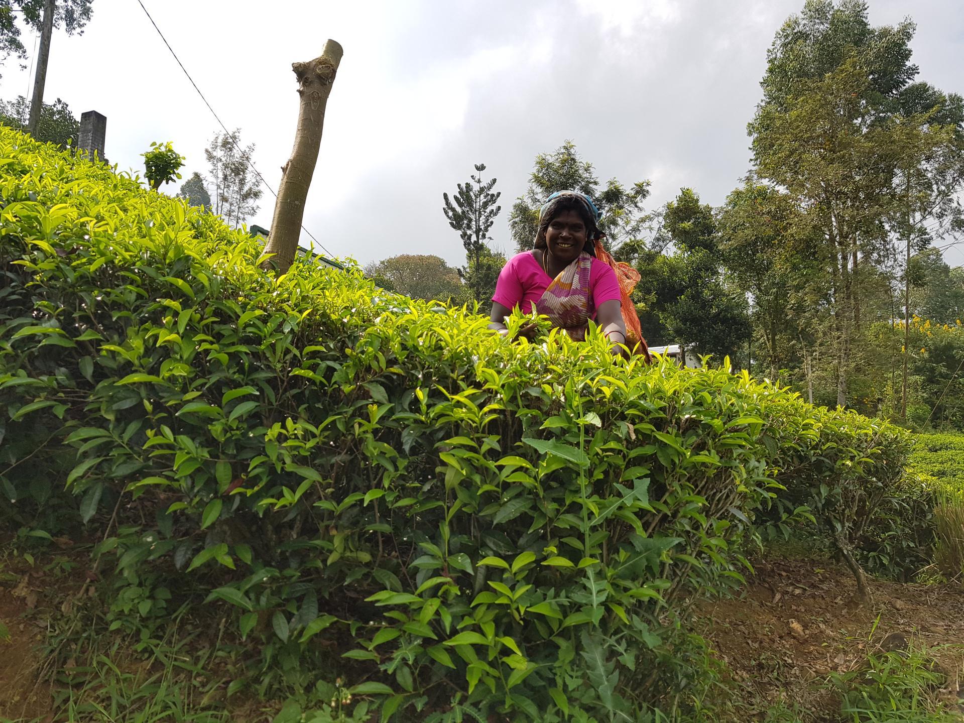 сборщица чая на Шри-Ланке