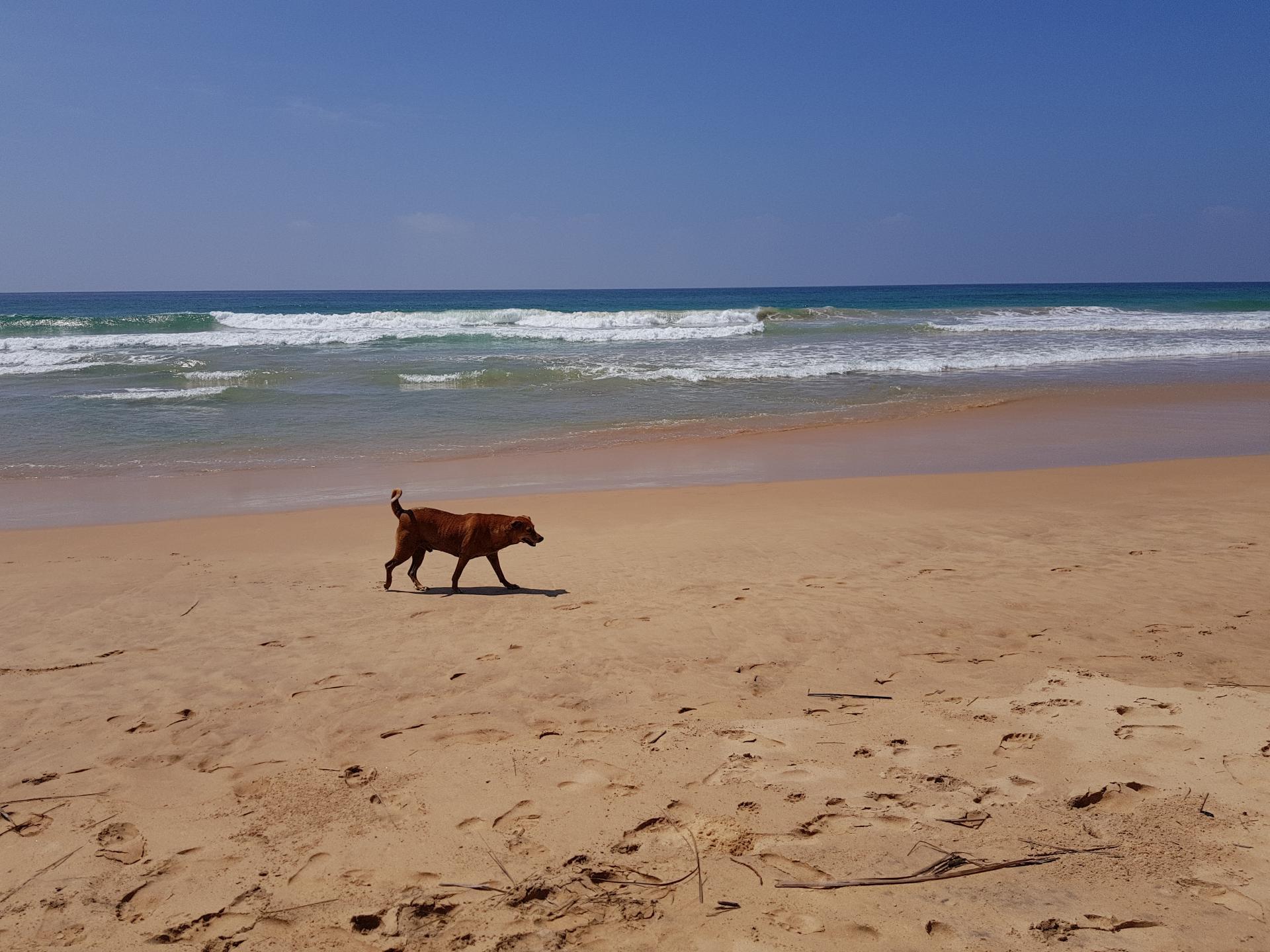 Собака на пляже Шри-Ланки