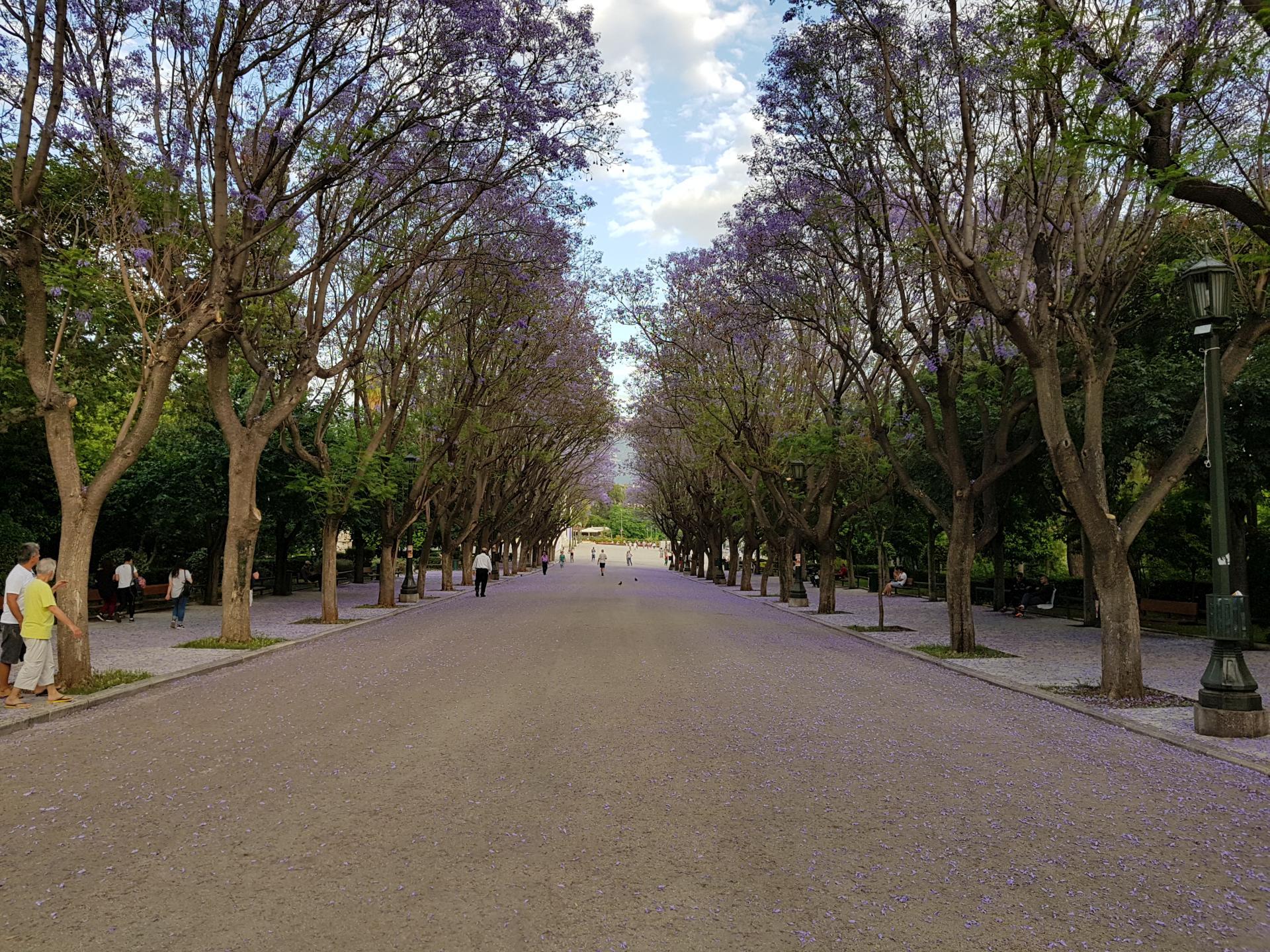 фиолетовая аллея жакаранд, Афины