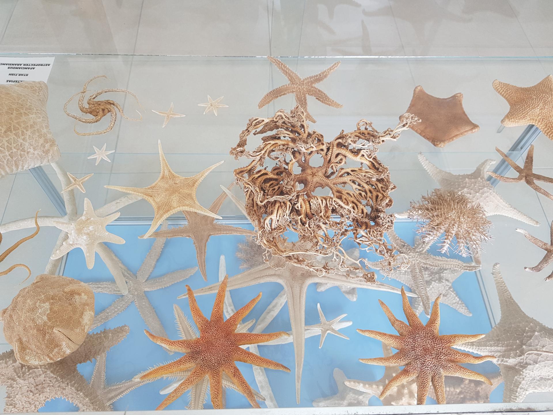 морские звезды в музее ракушек, Бенитсес
