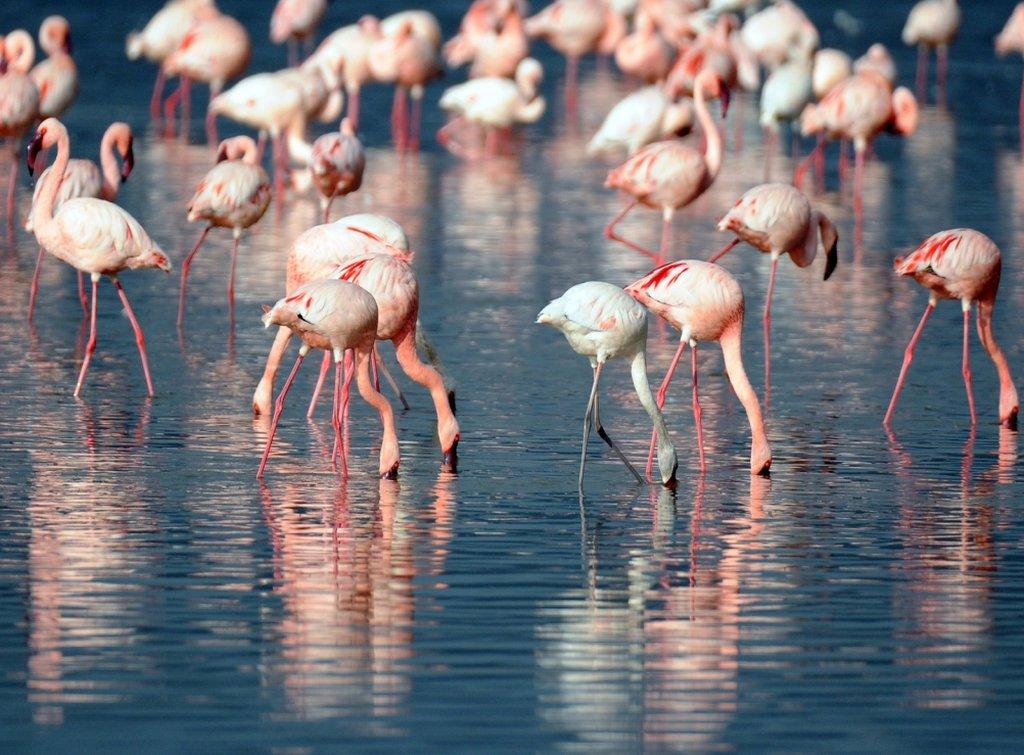 розовые фламинго в Уюни