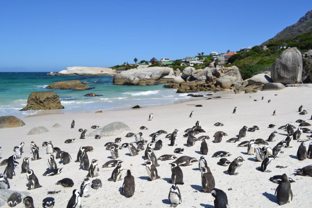 Пингвины в ЮАР
