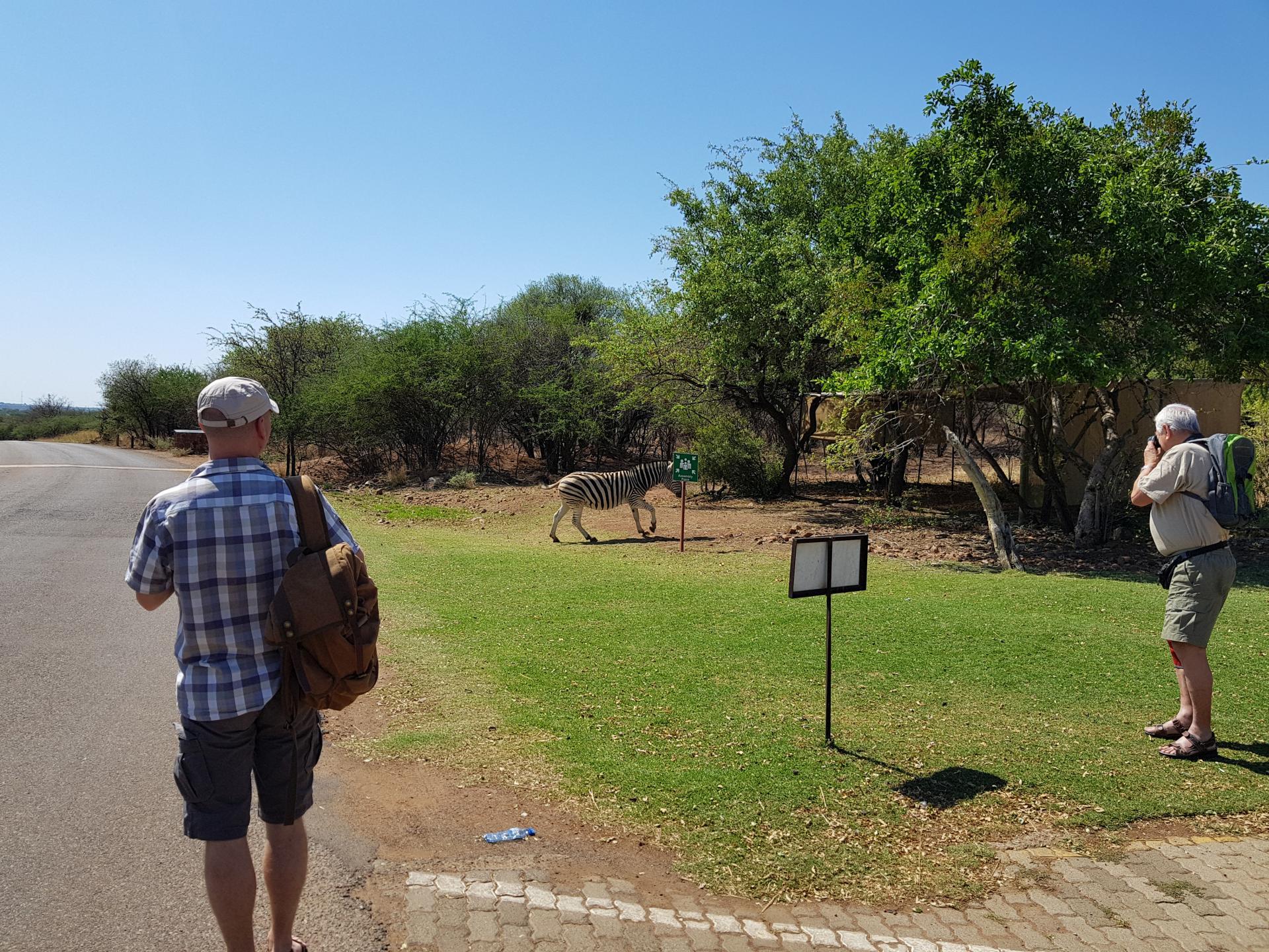 зебра в парке Пиланесберг