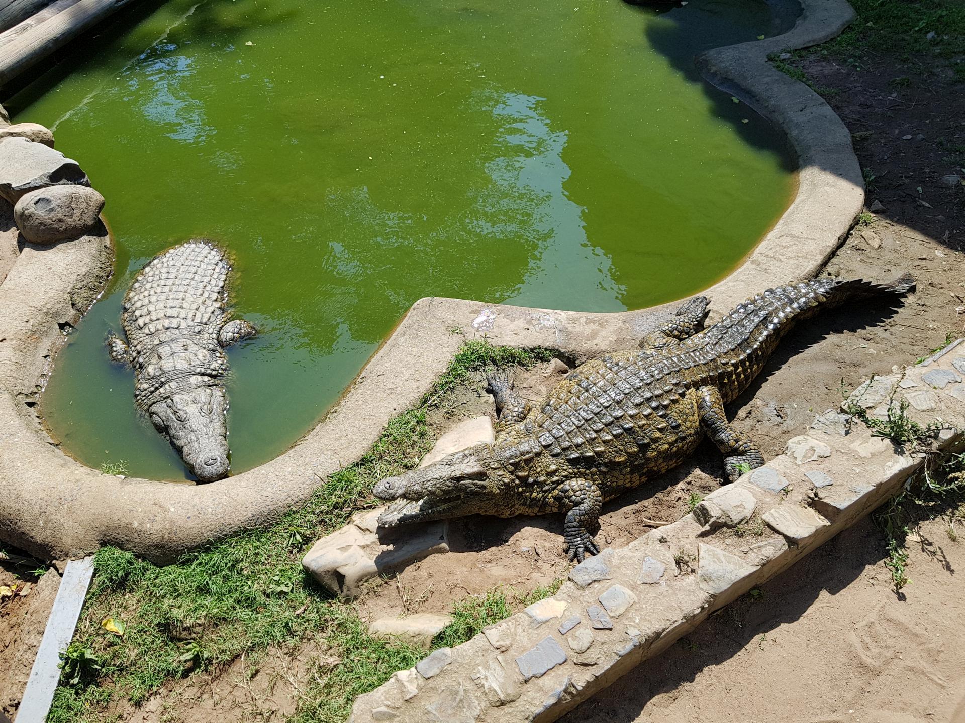 крокодил с открытой пастью
