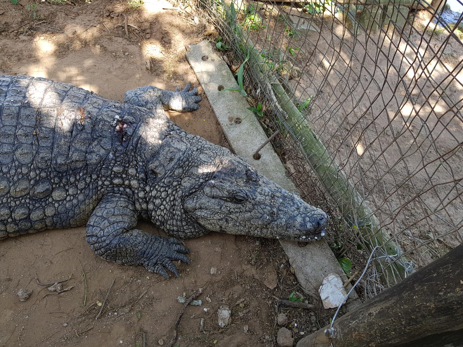 старый крокодил
