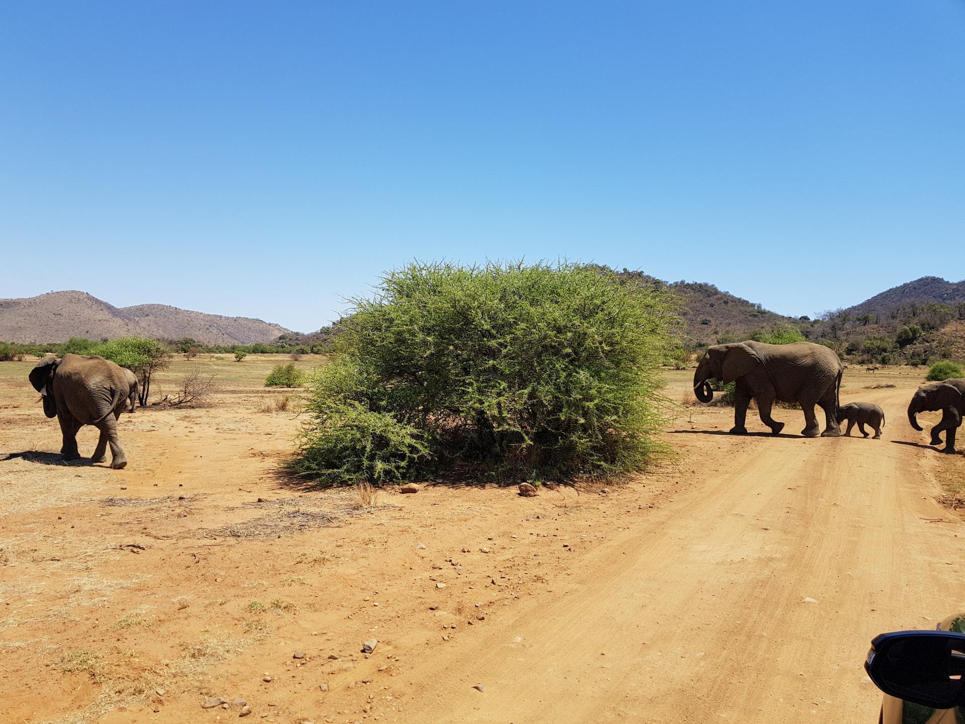 стадо слонов переходит дорогу