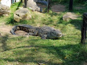 оскал крокодила