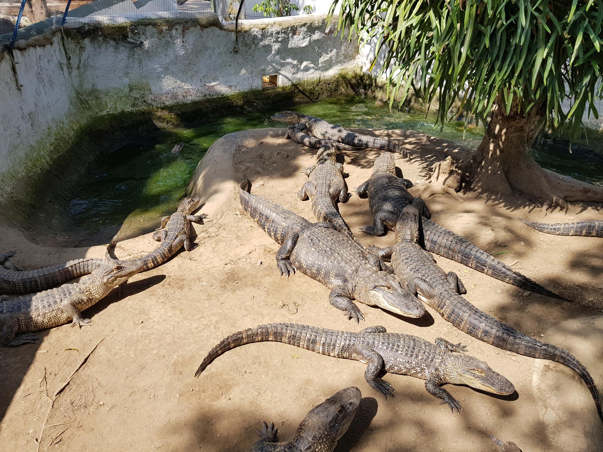 молодые крокодилы