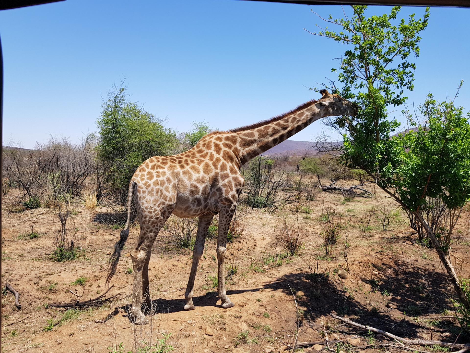 жираф в парке Пиланесберг