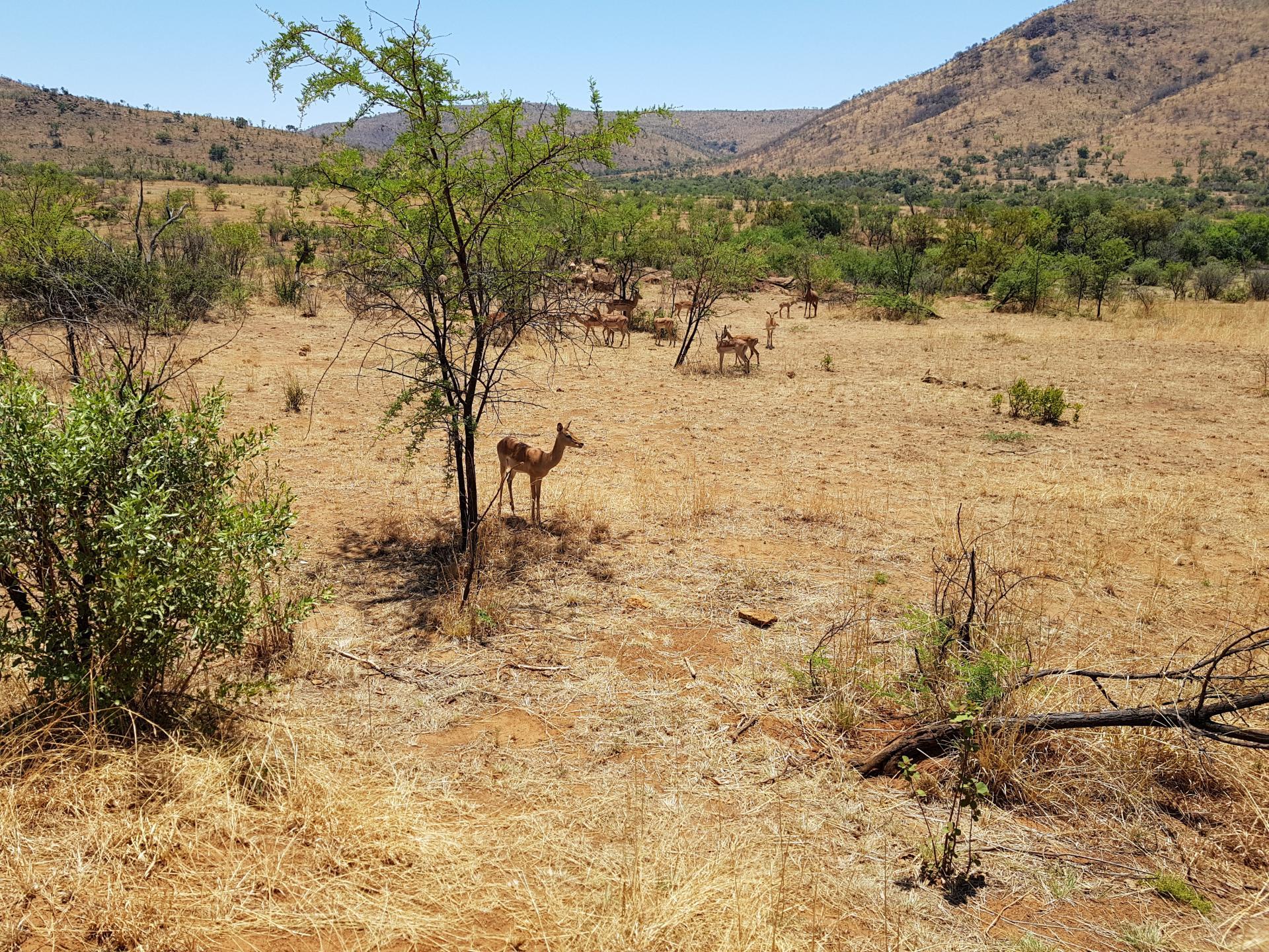 стадо антилоп Импала