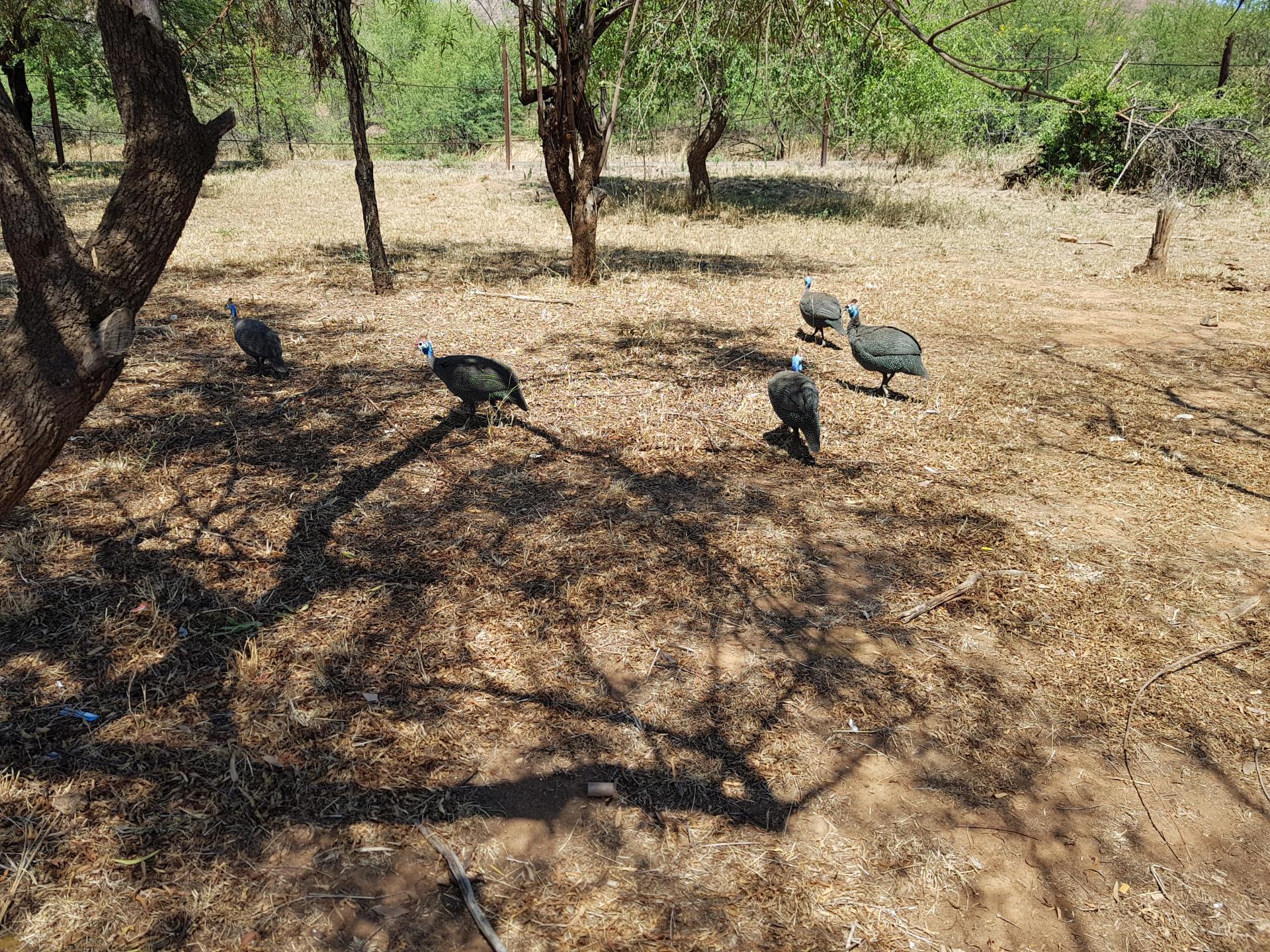 гвинейские цесарки