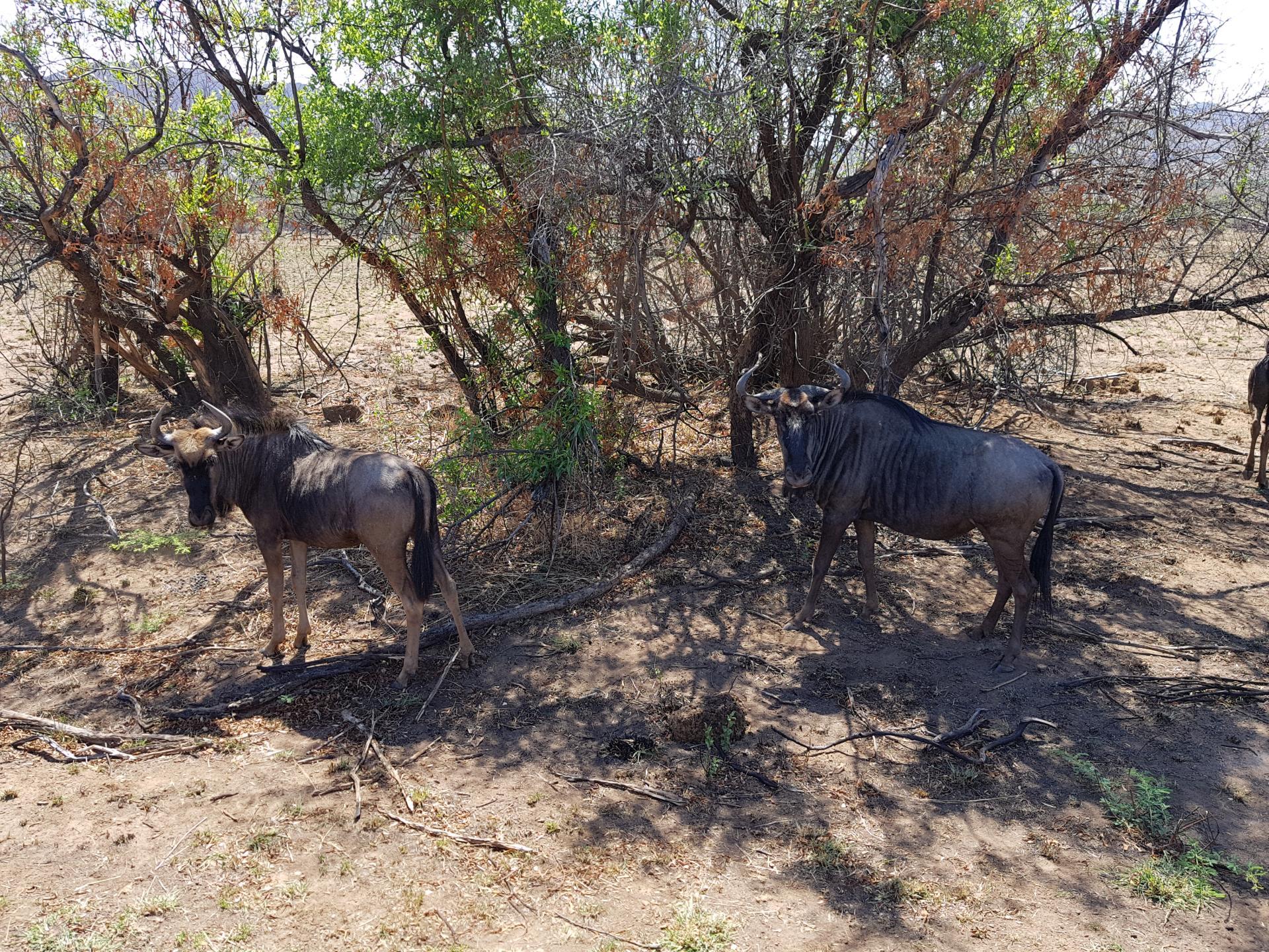 антилопы Гну, парк Пиланесберг