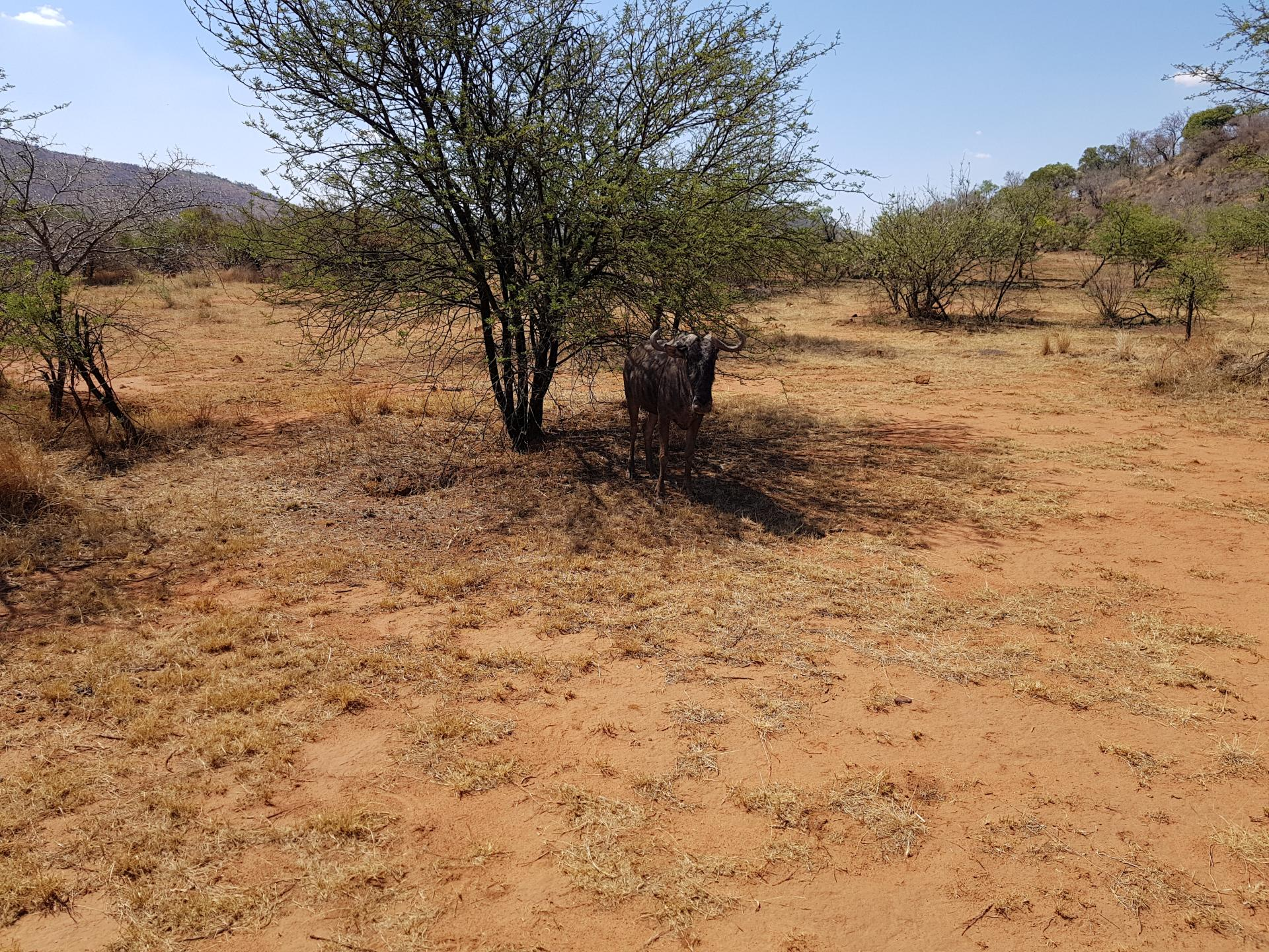 антилопа Гну, парк Пиланесберг