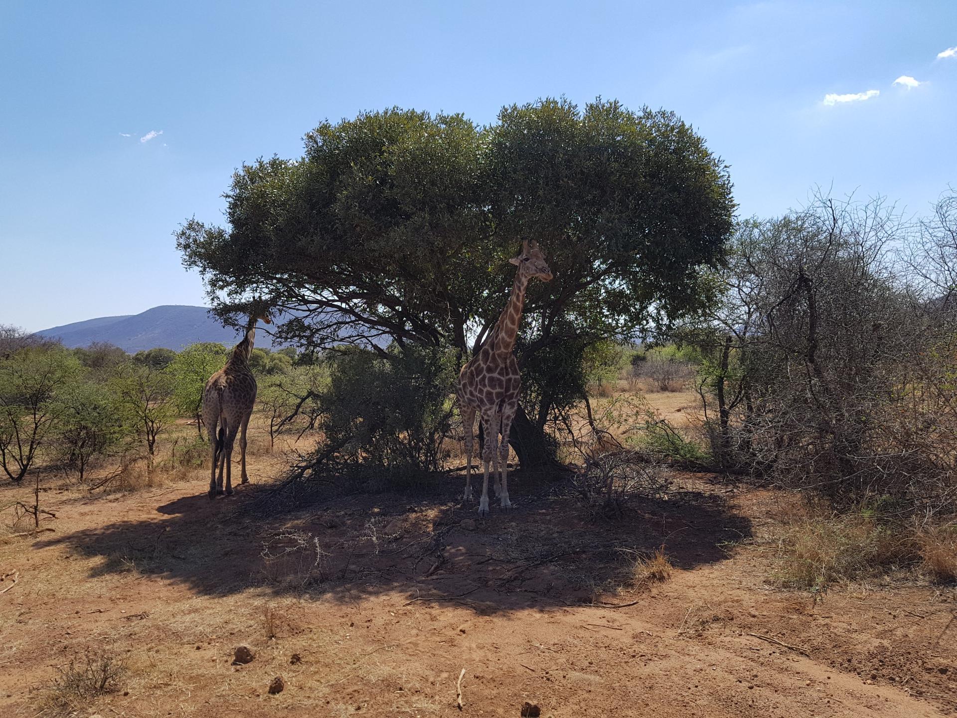 жирафы в тени дерева