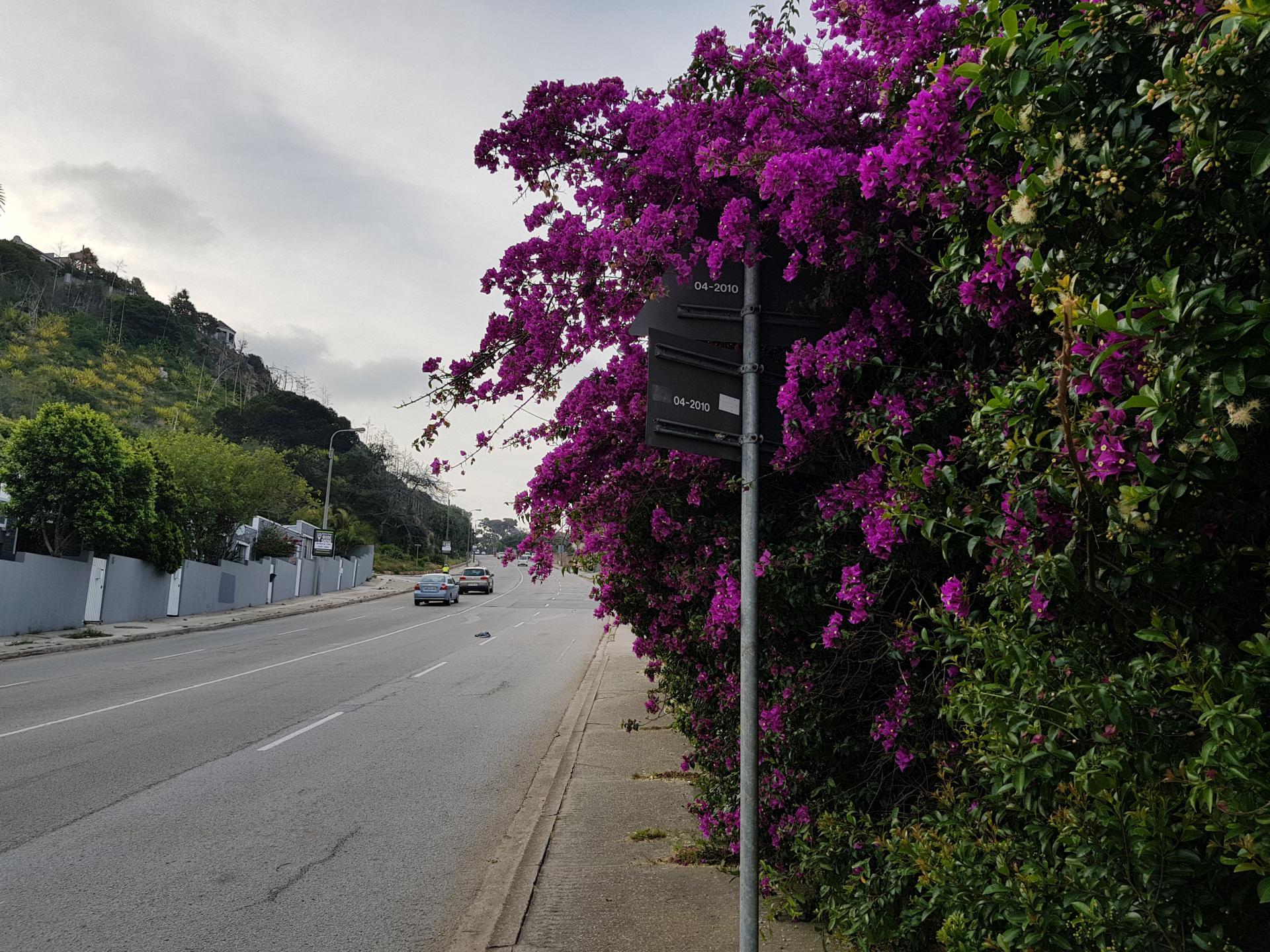 дерево с розовыми цветами в ЮАР