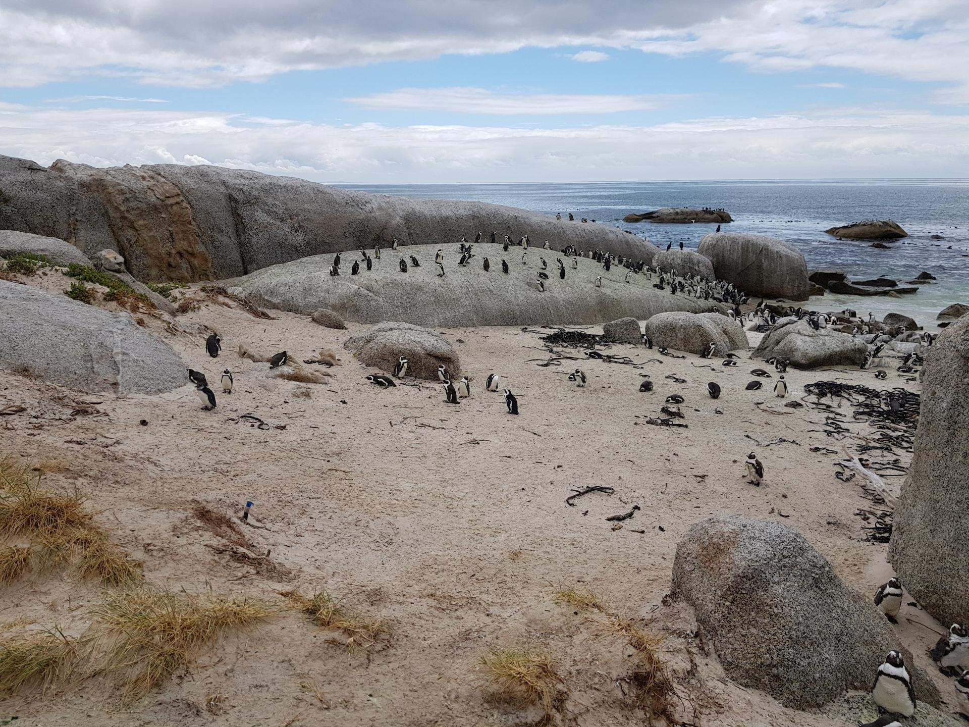 колония пингвинов в Южной Африке
