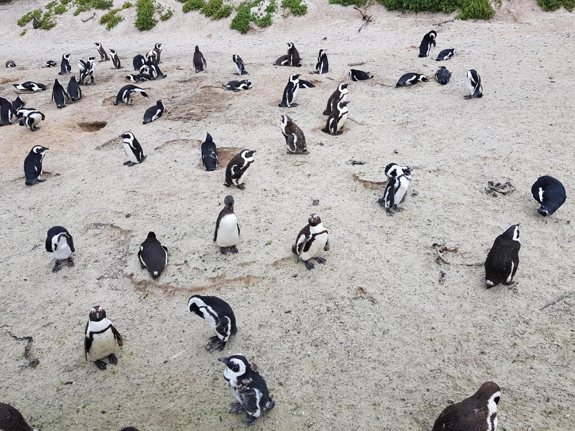колония пингвинов недалеко от Кейптауна
