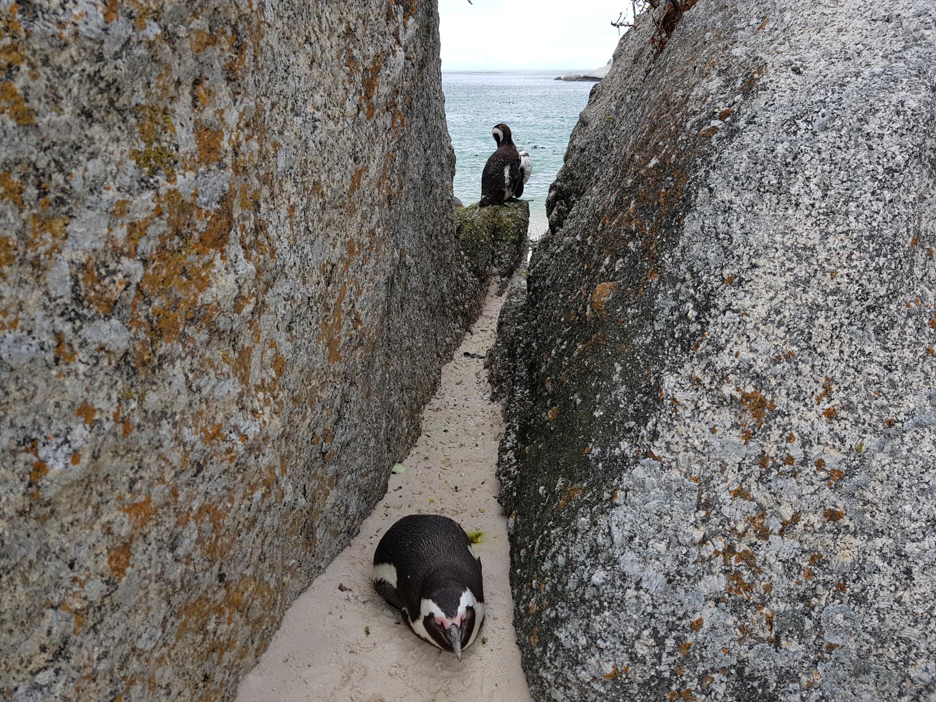 Глупый пингвин робко прячет тело жирное в утесах