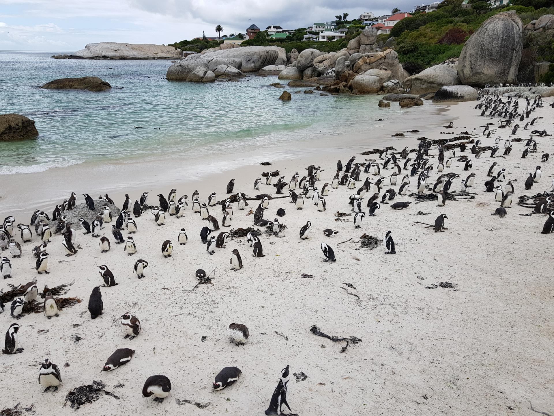 Пингвины, Болдерс Бич, ЮАР