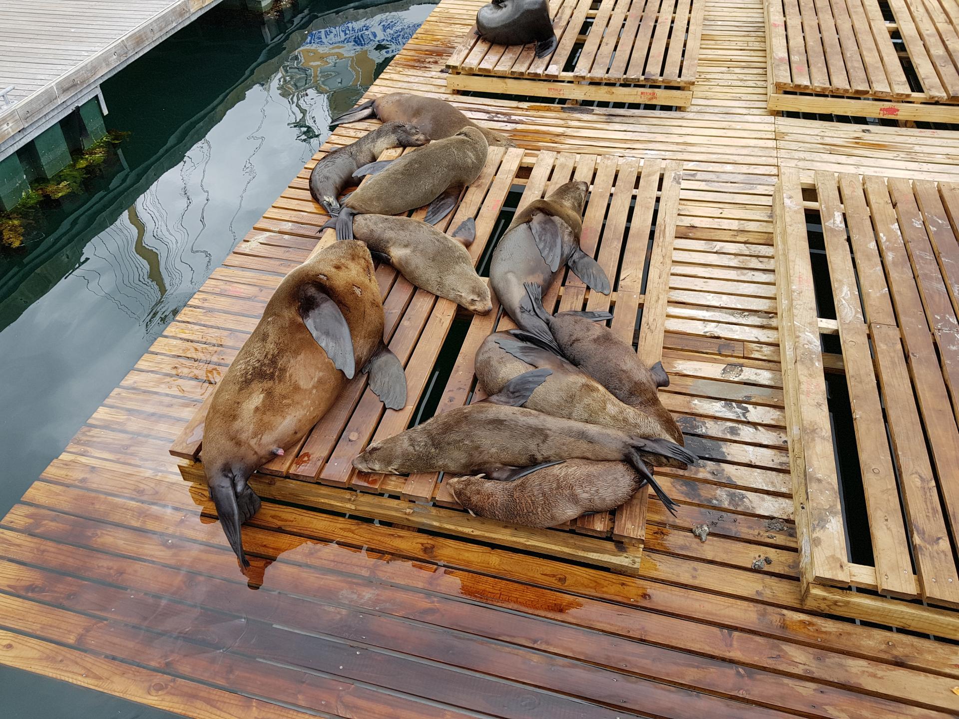 морские котики в Кейптауне