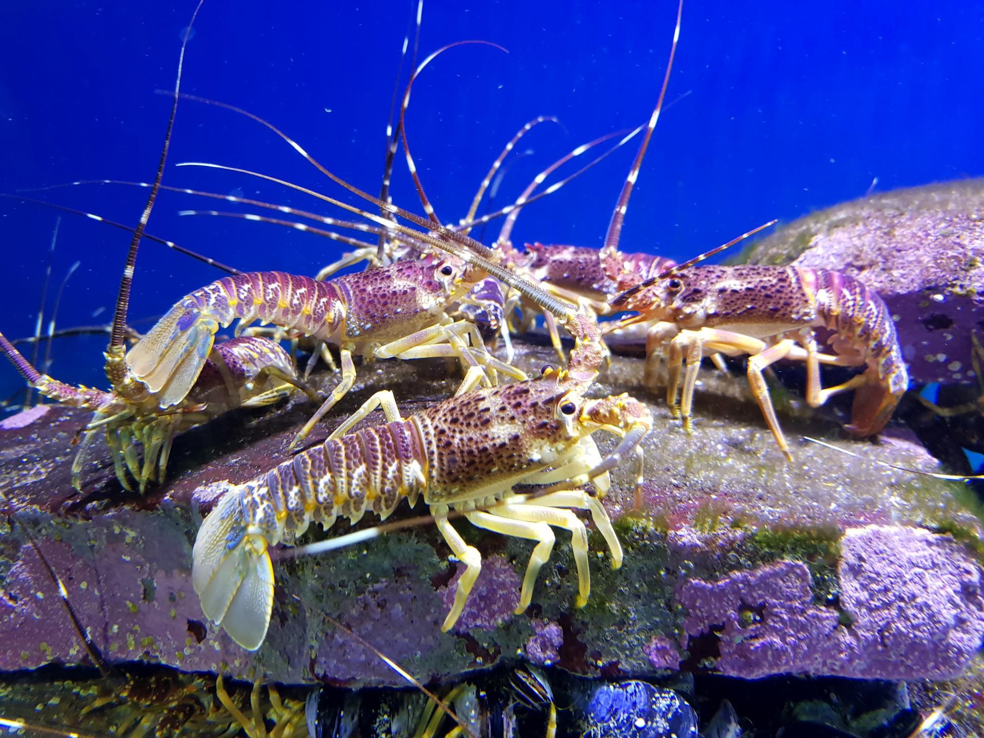 лангусты в океанариуме