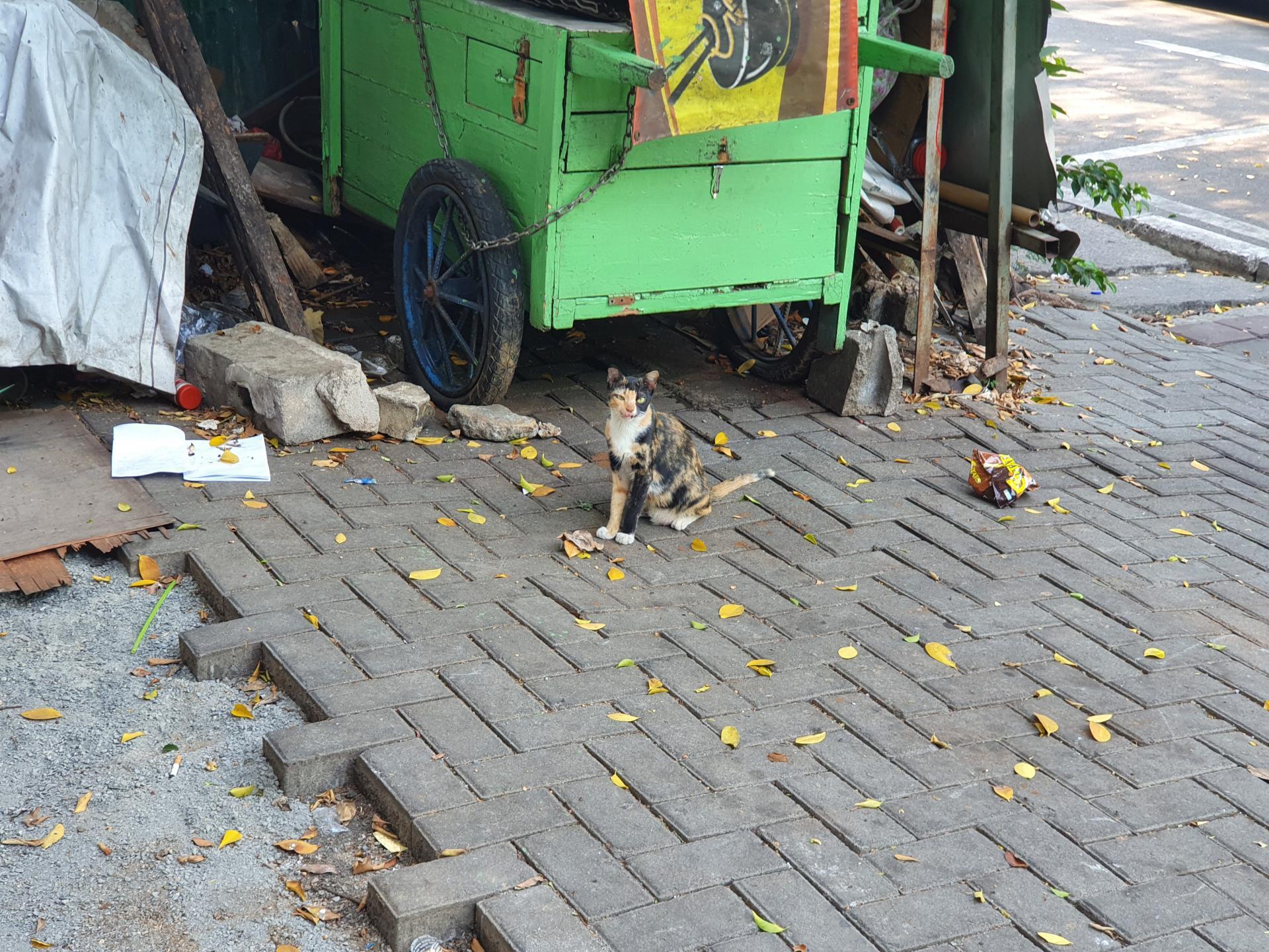 индонезийская кошка