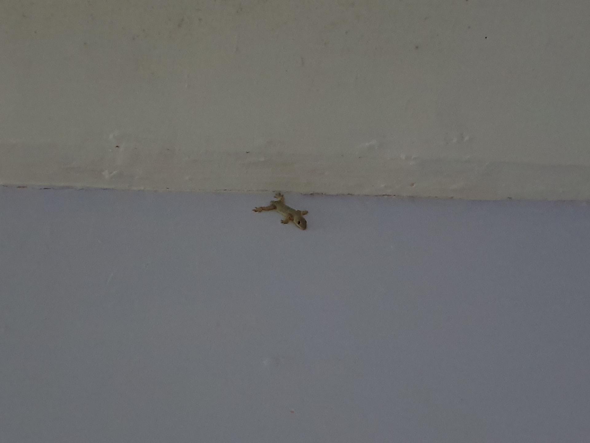 геккон без хвоста на стене