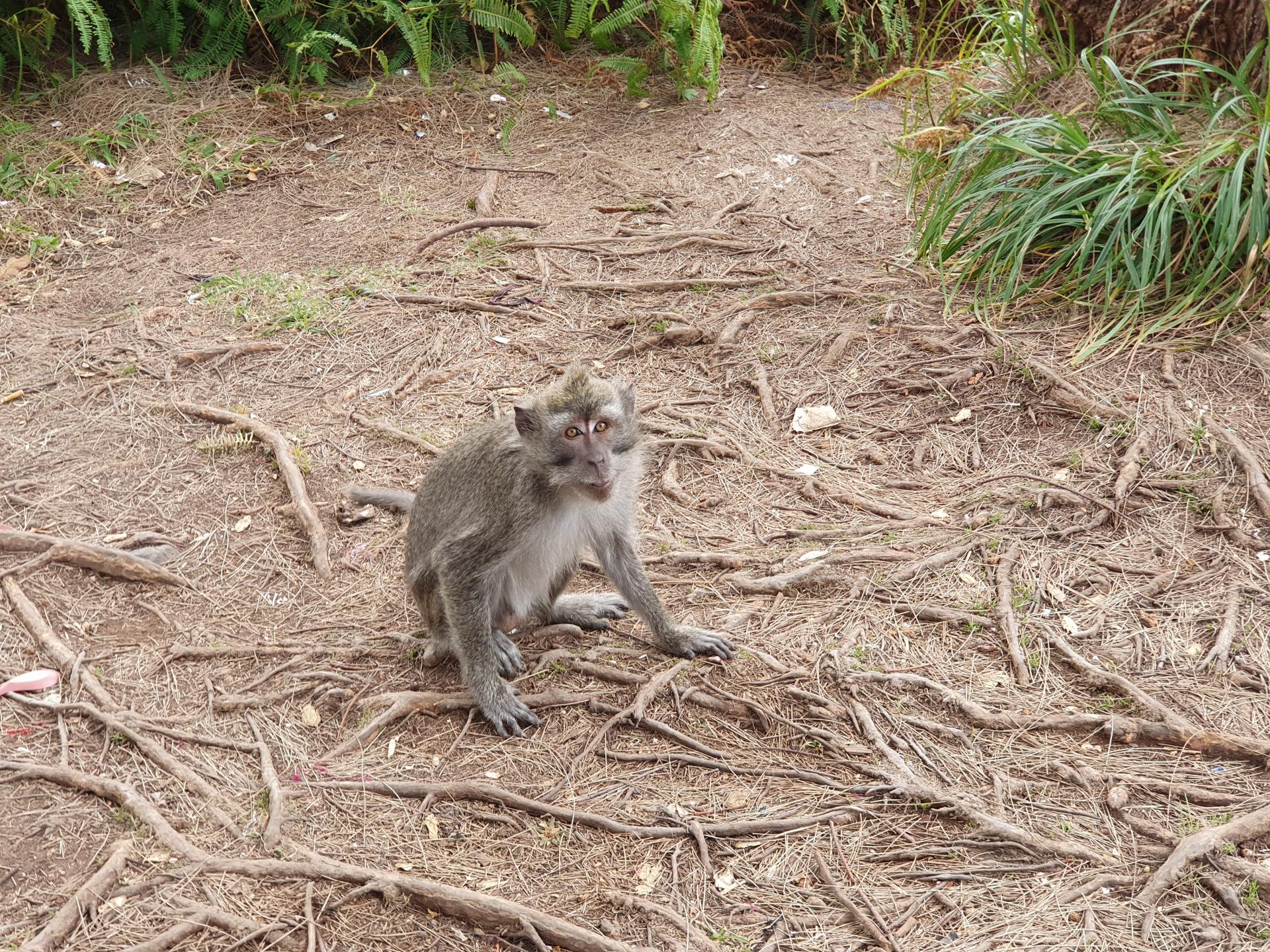 мартышка в Национальном парке Келимуту